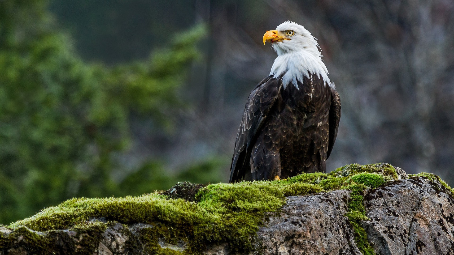 1920x1080  animals, Nature, Wildlife, Eagle, Birds, Moss, Bald Eagle  Wallpapers HD / Desktop and Mobile Backgrounds