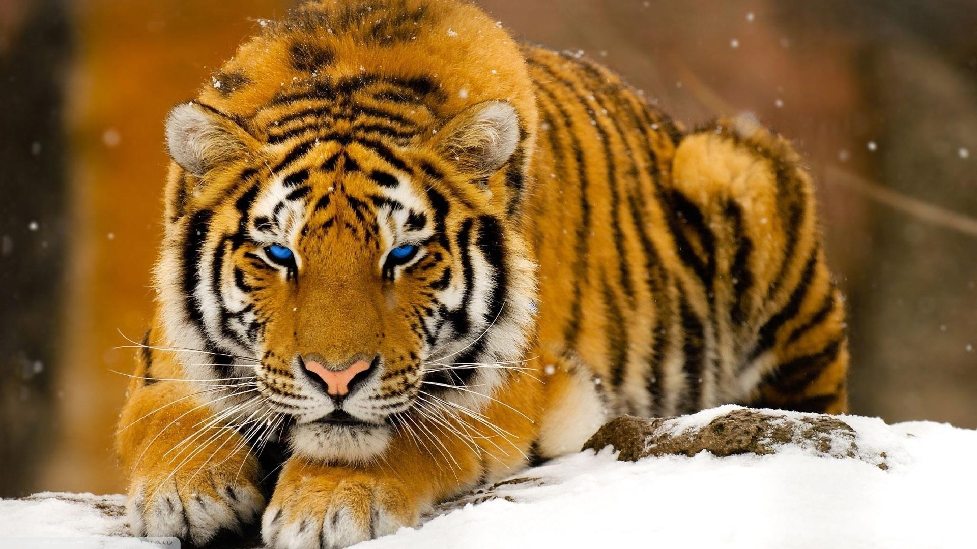 1920x1080 animals, Tiger, Big Cats Wallpapers HD / Desktop and Mobile Backgrounds