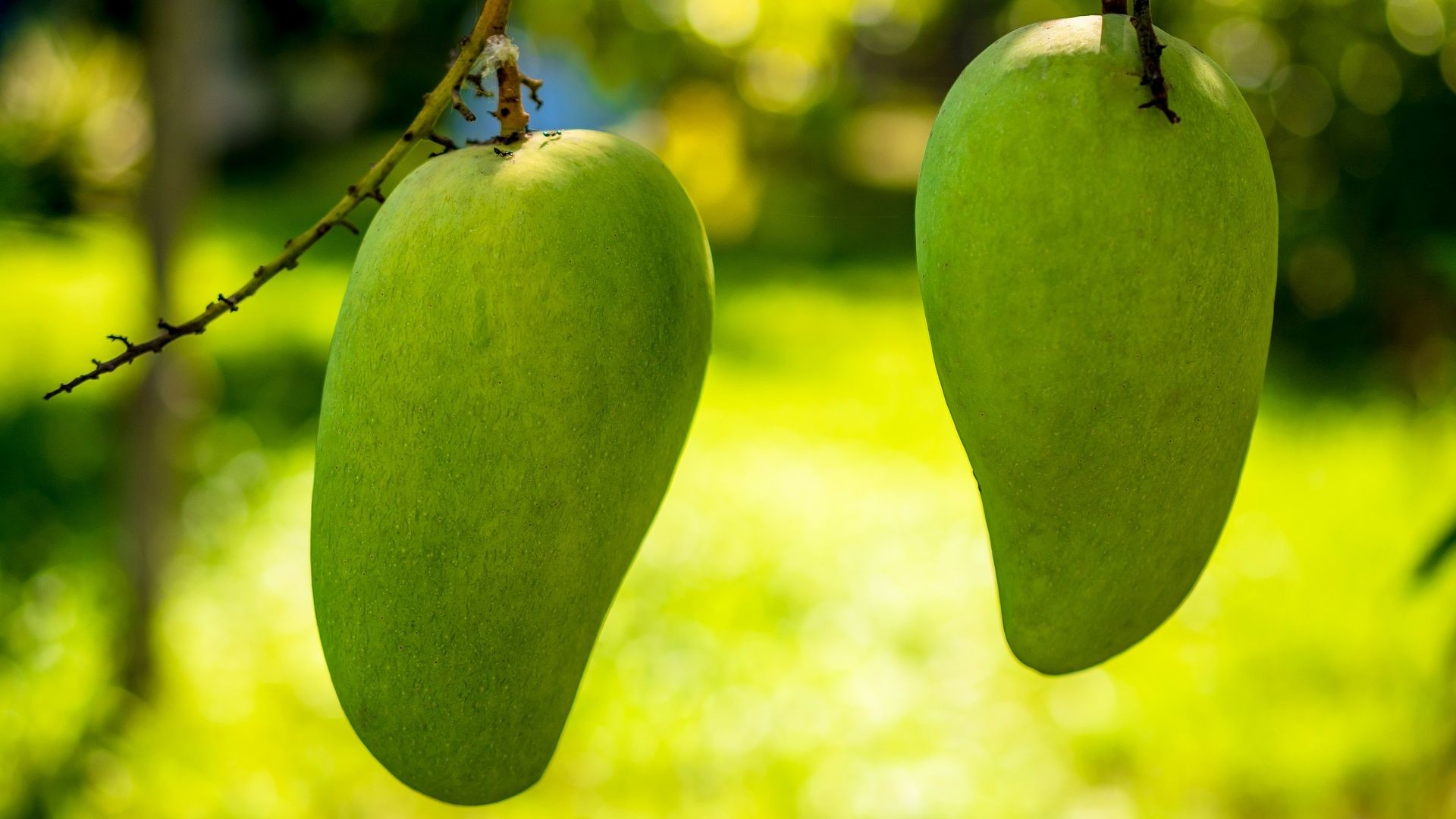 1920x1080 Green Mango Fruits with Blurred Background