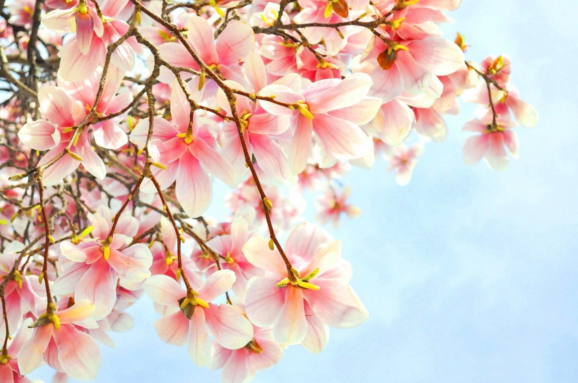 Magnolia Flower Wallpaper 53 Images