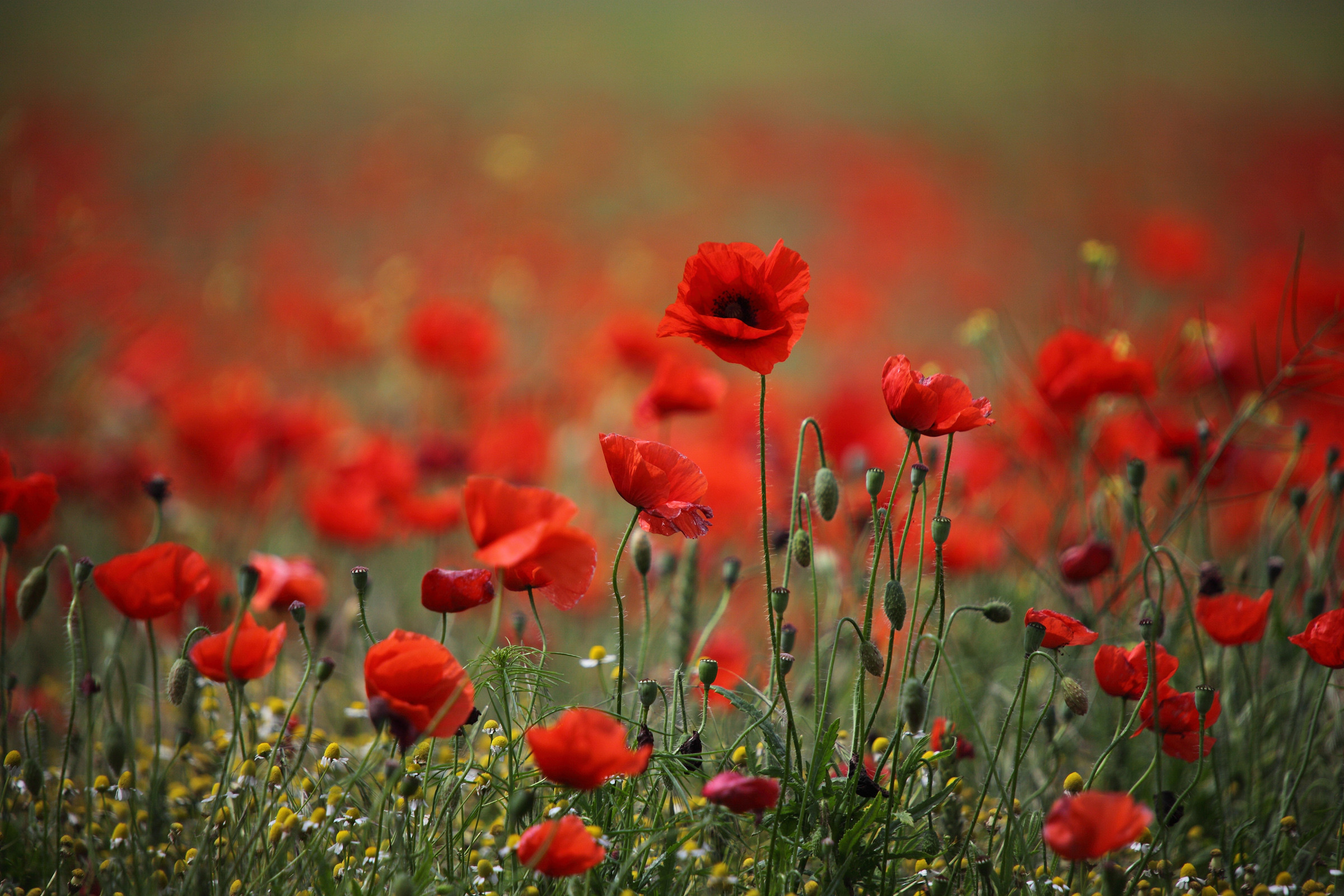 Field of poppies wallpaper 50 images - Poppy wallpaper ...