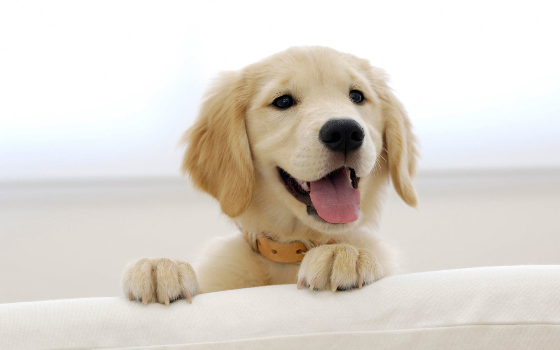 1920x1200 Golden Retriever Puppy