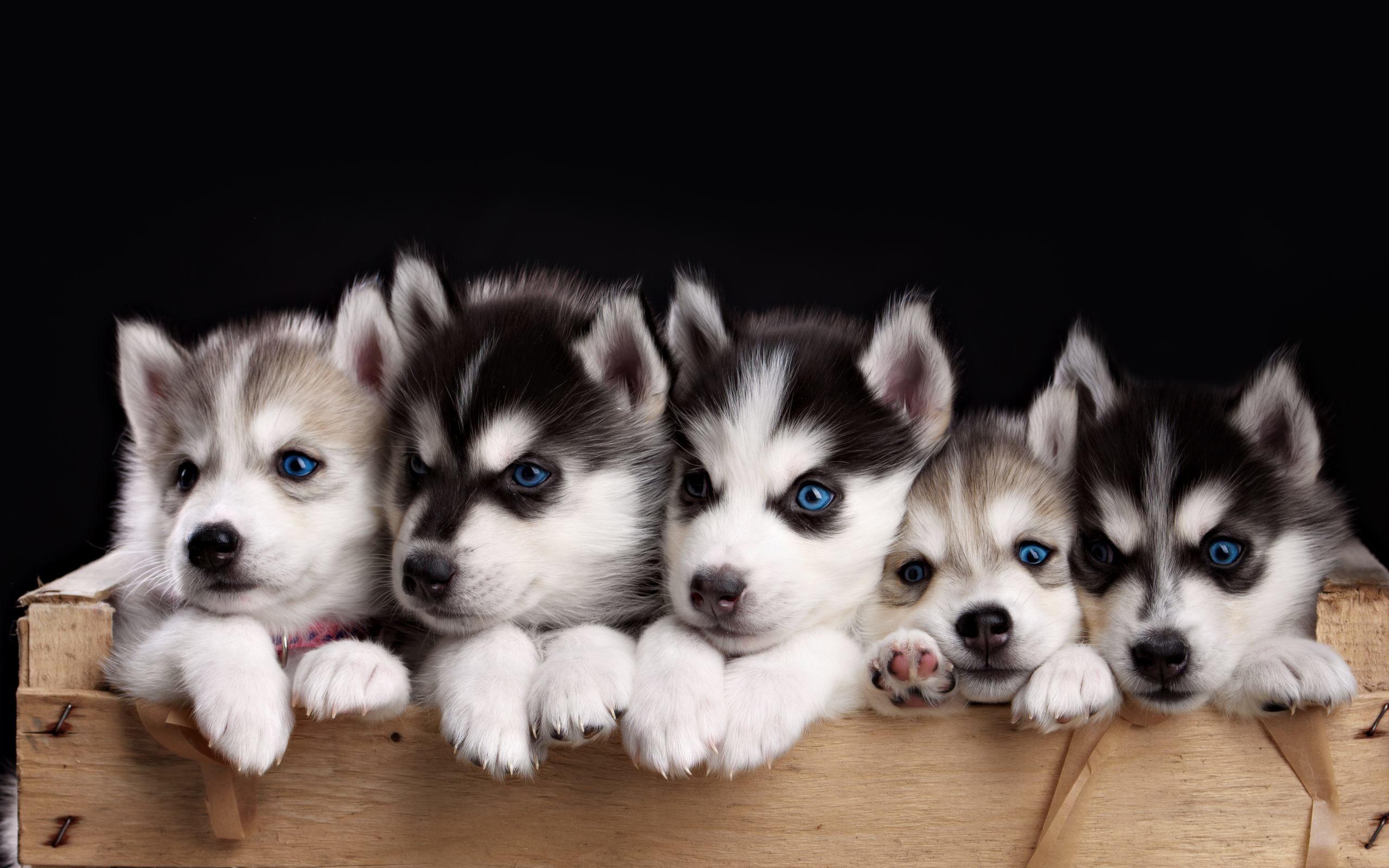 Baby Huskies Wallpaper 79 Images