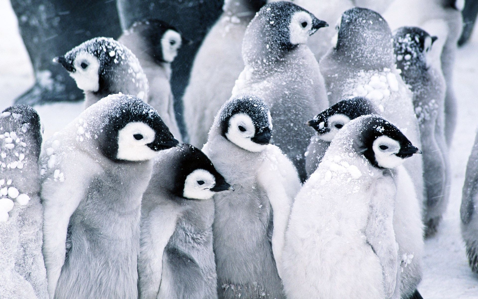 1920x1200 Colony of penguins in the snow wallpaper 15944