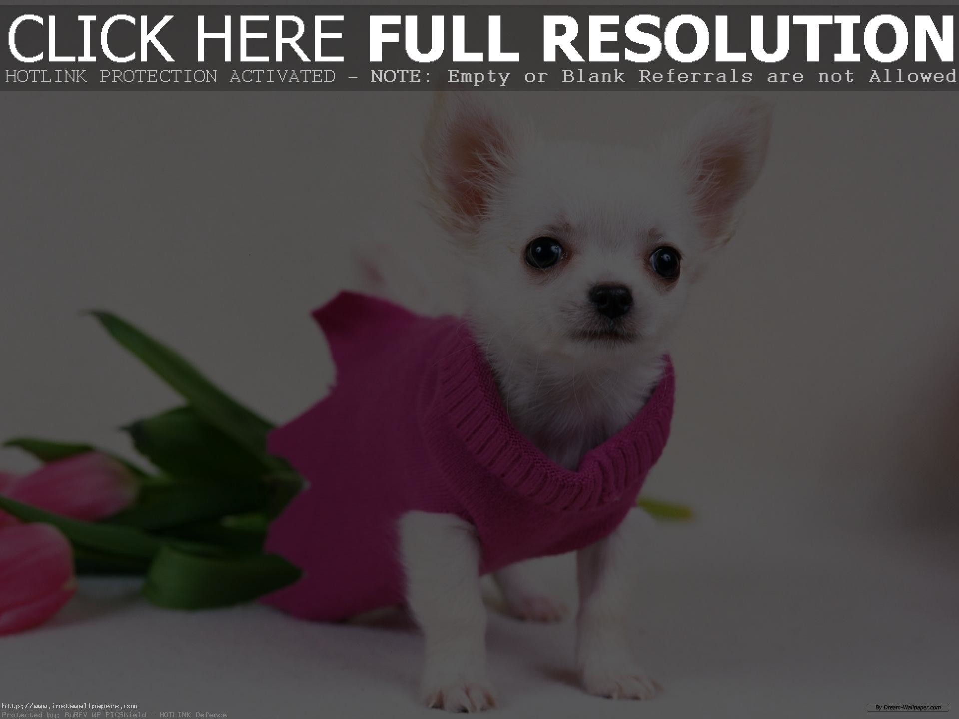 1920x1440 free chihuahua puppy wallpaper for desktop HD PC Laptop background