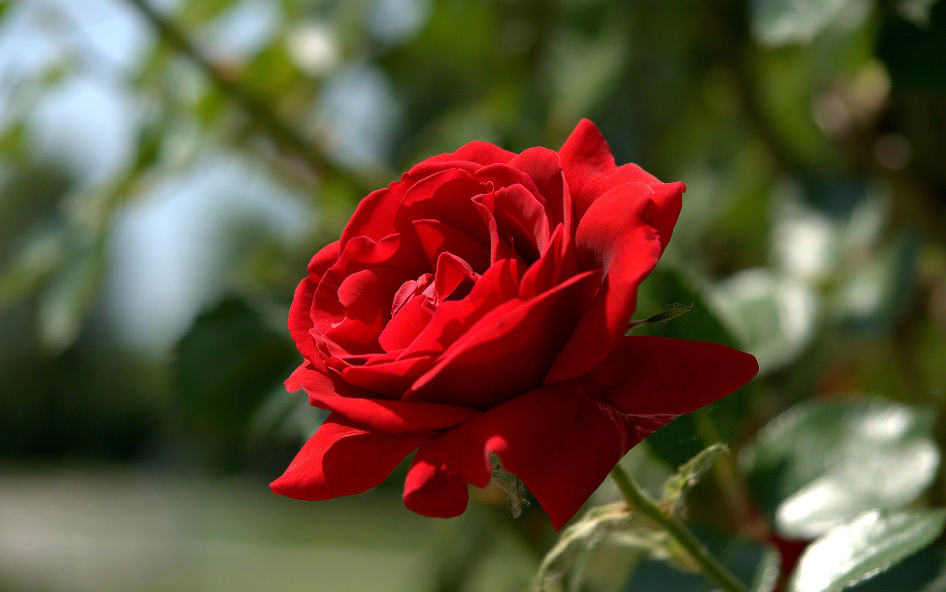1920x1201 most beautiful red rose wallpaper