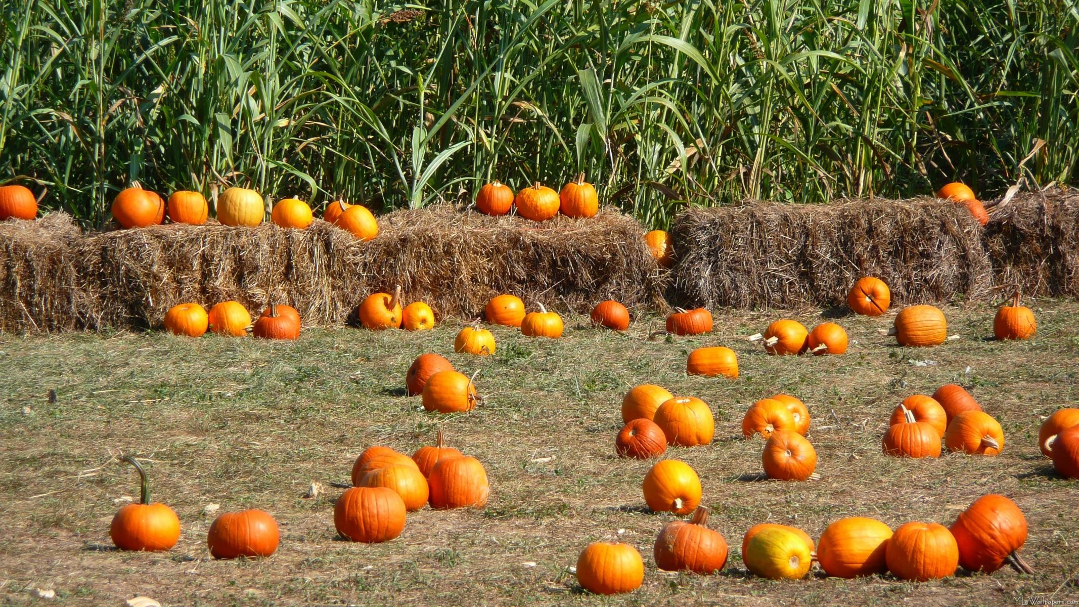 Thanksgiving Corn Farm: Fall Wallpaper Backgrounds With Pumpkins (55+ Images