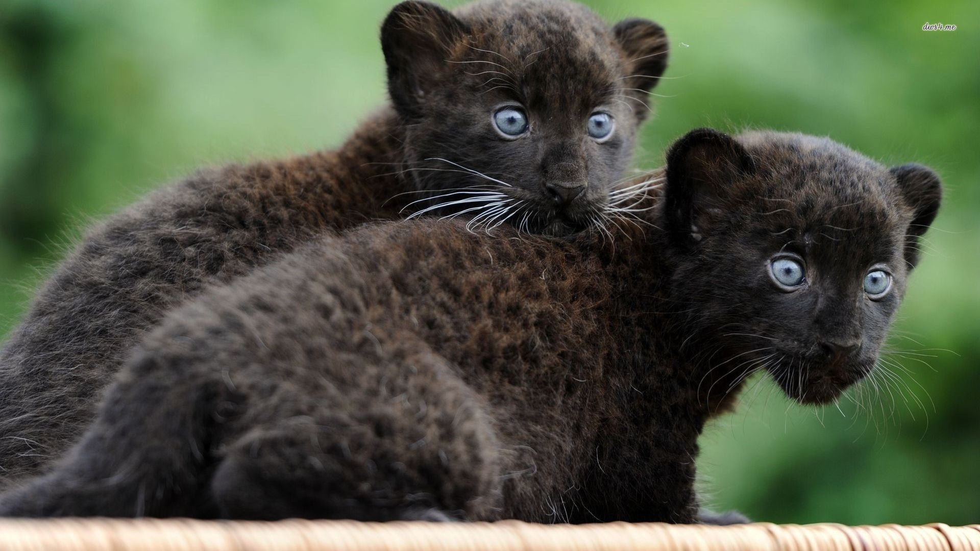 Black Panther Animal Wallpapers: Panther Wallpaper (71+ Images