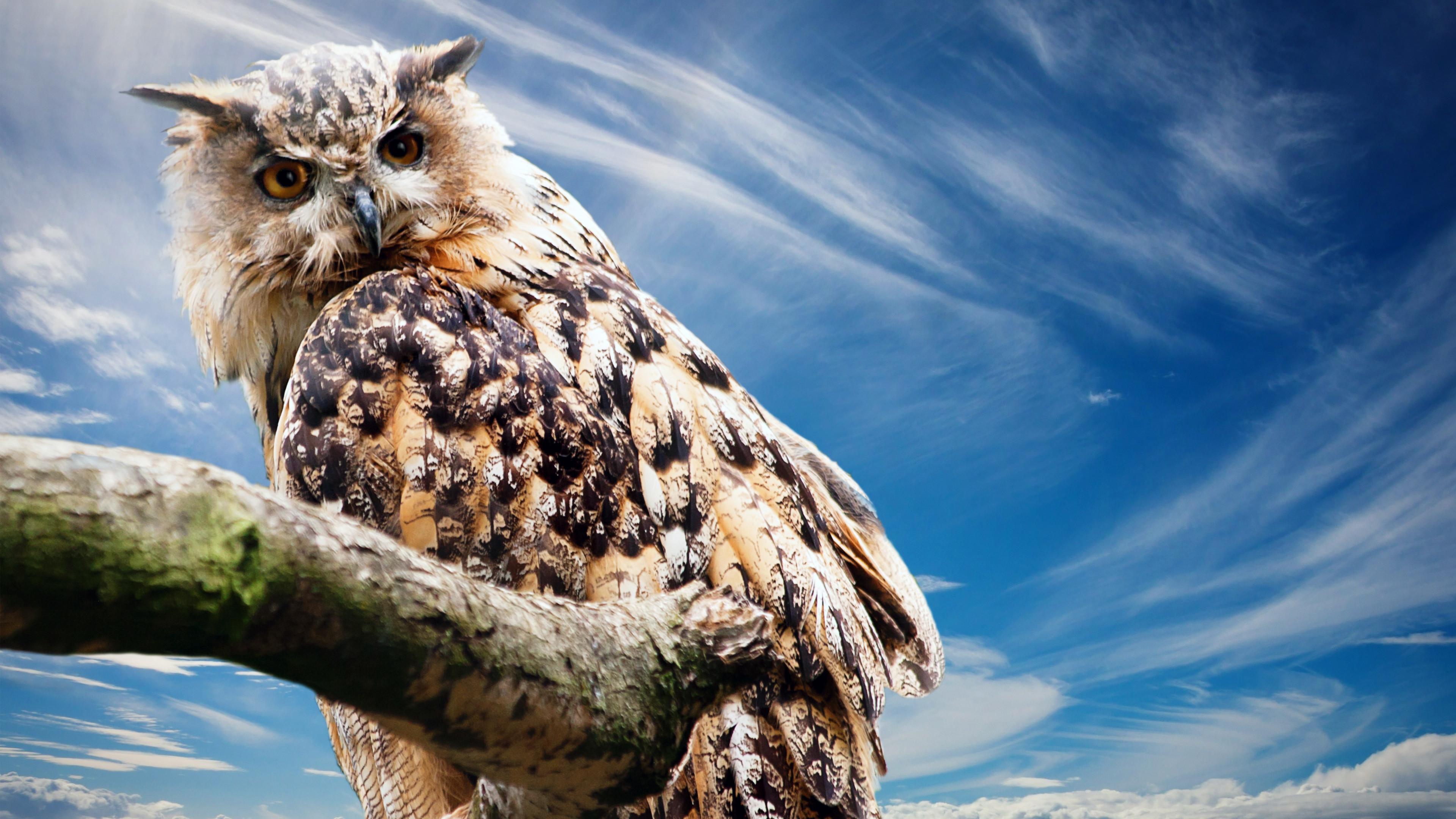 Cute snowy owl wallpaper