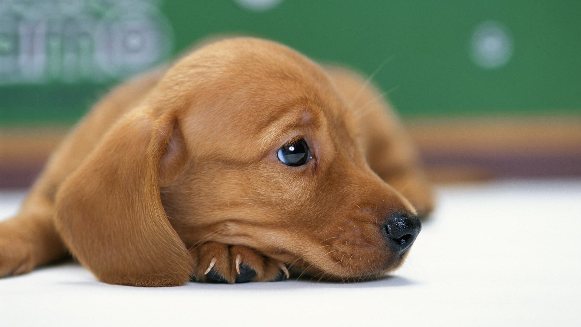1920x1080 Dachshund Wallpaper - Wallpapers Browse ...