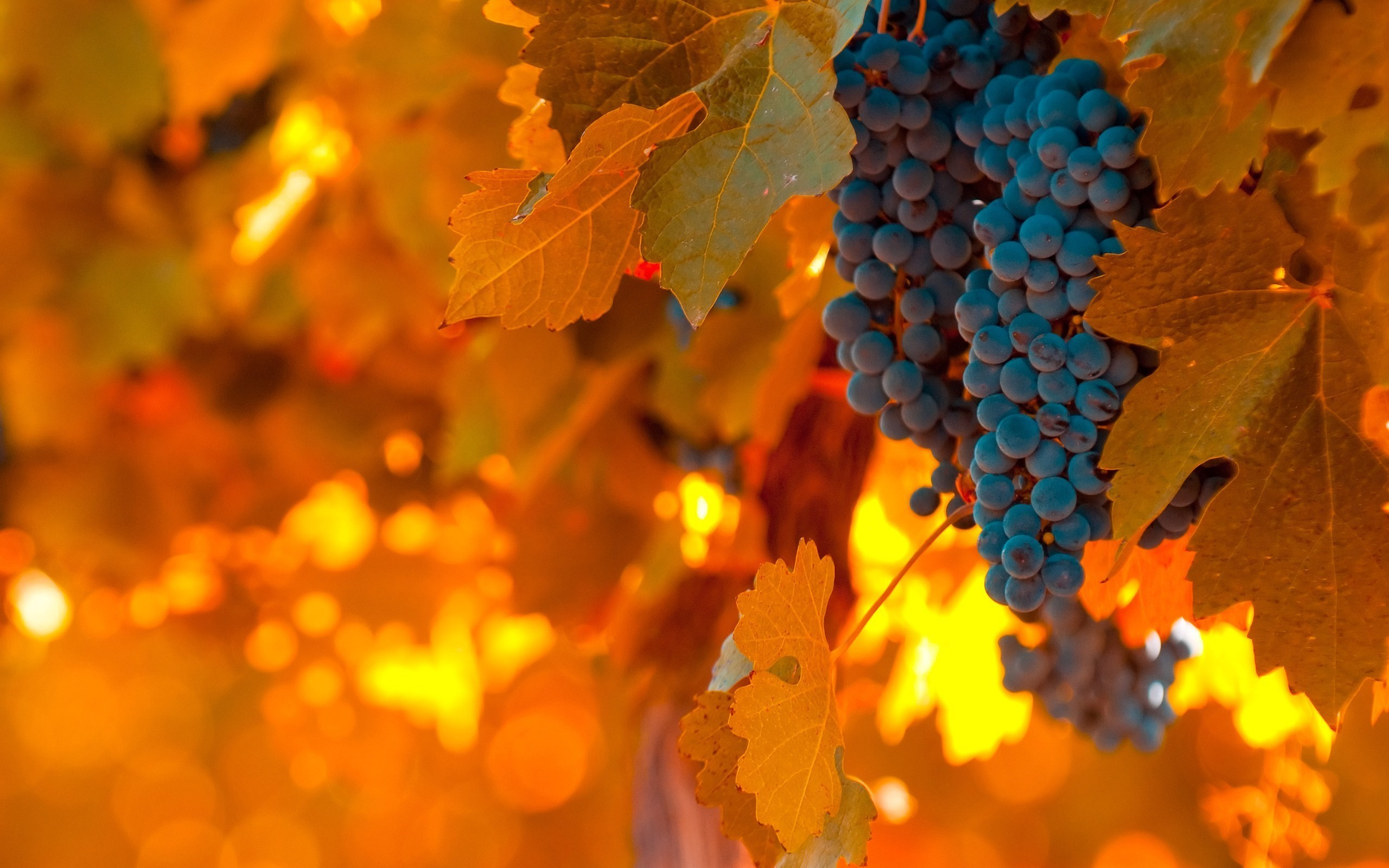 2560x1600 vineyard grapes wallpaper 2961