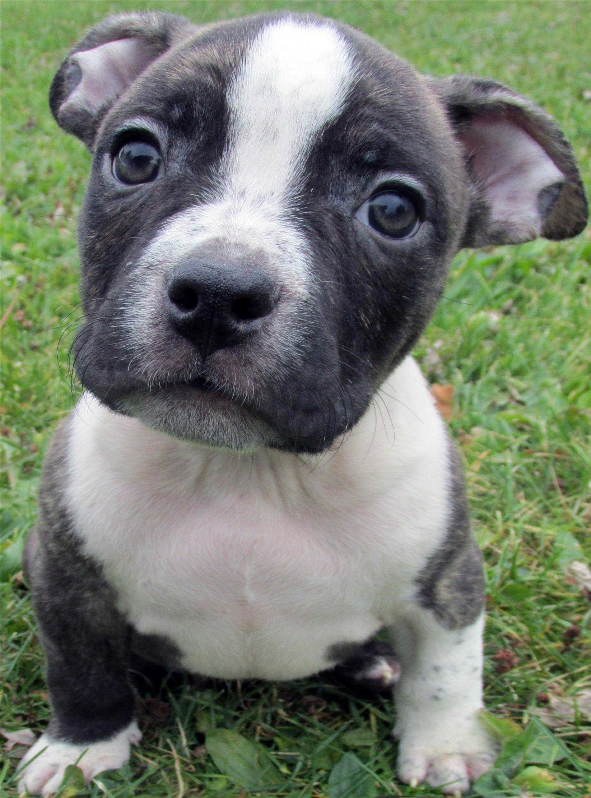 blue nose pitbull wallpaper 35 images