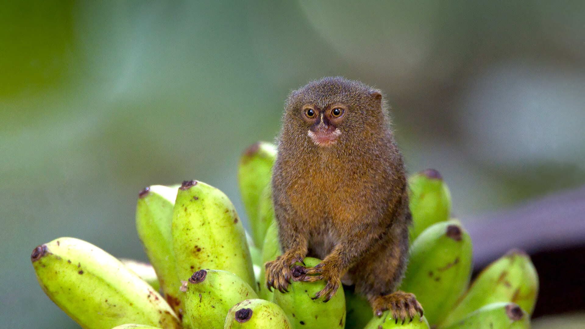 1920x1080 Pygmy marmoset sits on a bunch of bananas