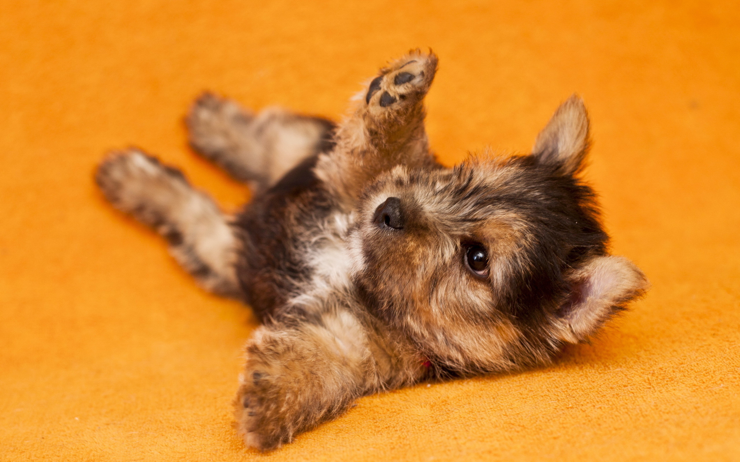 2560x1600 Yorkshire Terrier Wallpapers