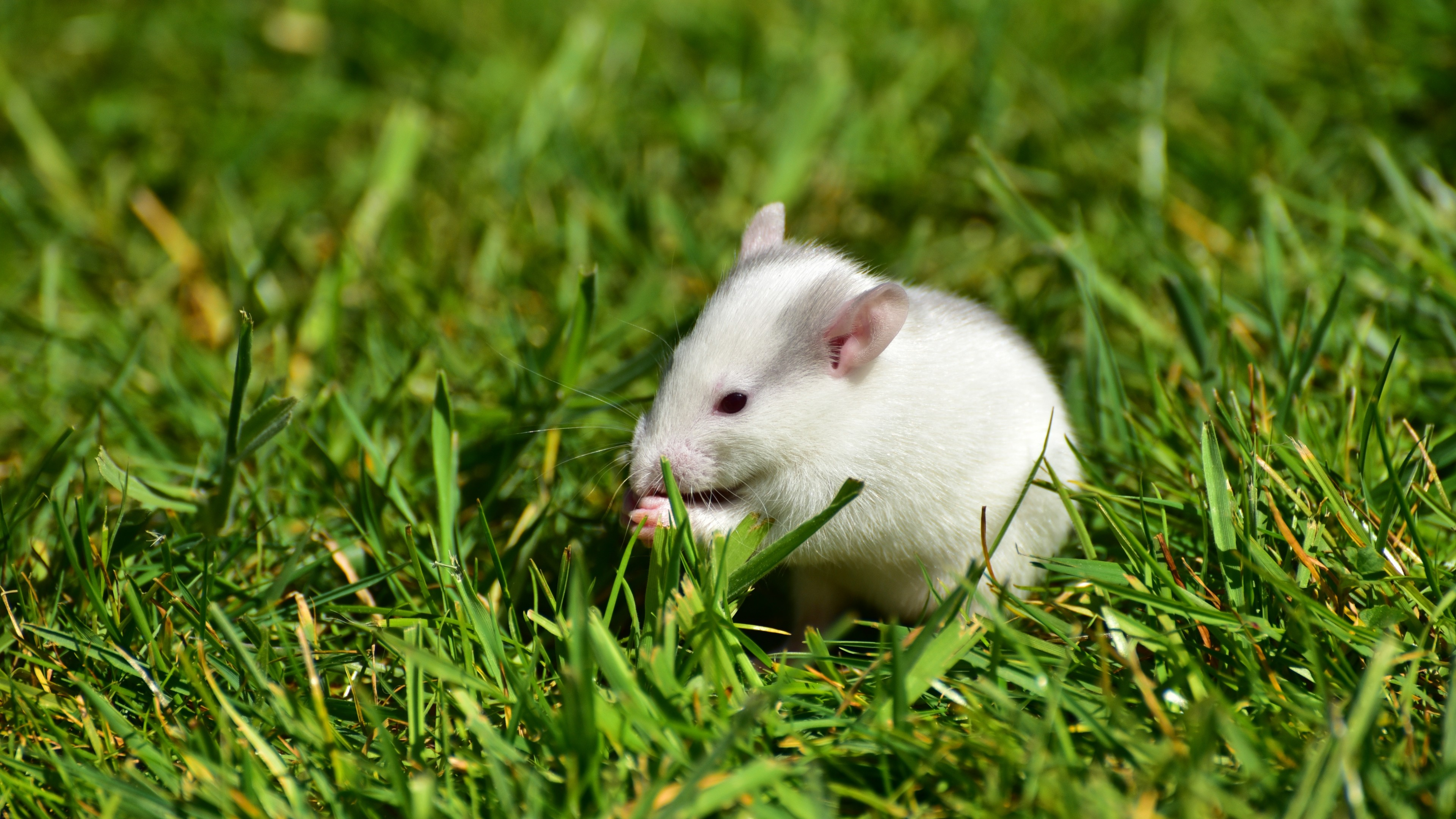 3840x2160  Wallpaper rat, grass, walk, rodent