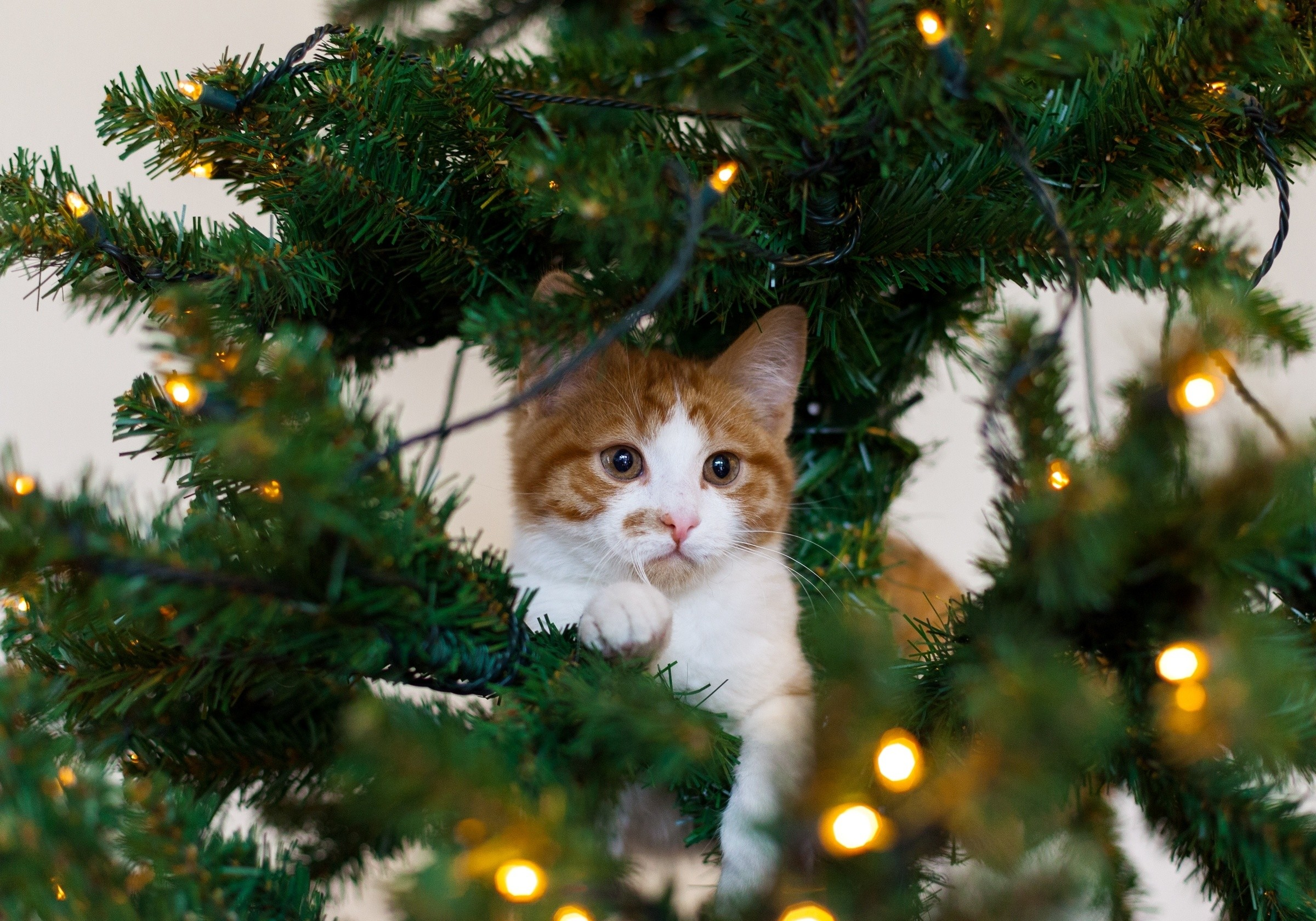 2400x1680 ... kitten cat red tree cat white christmas wallpaper  ...