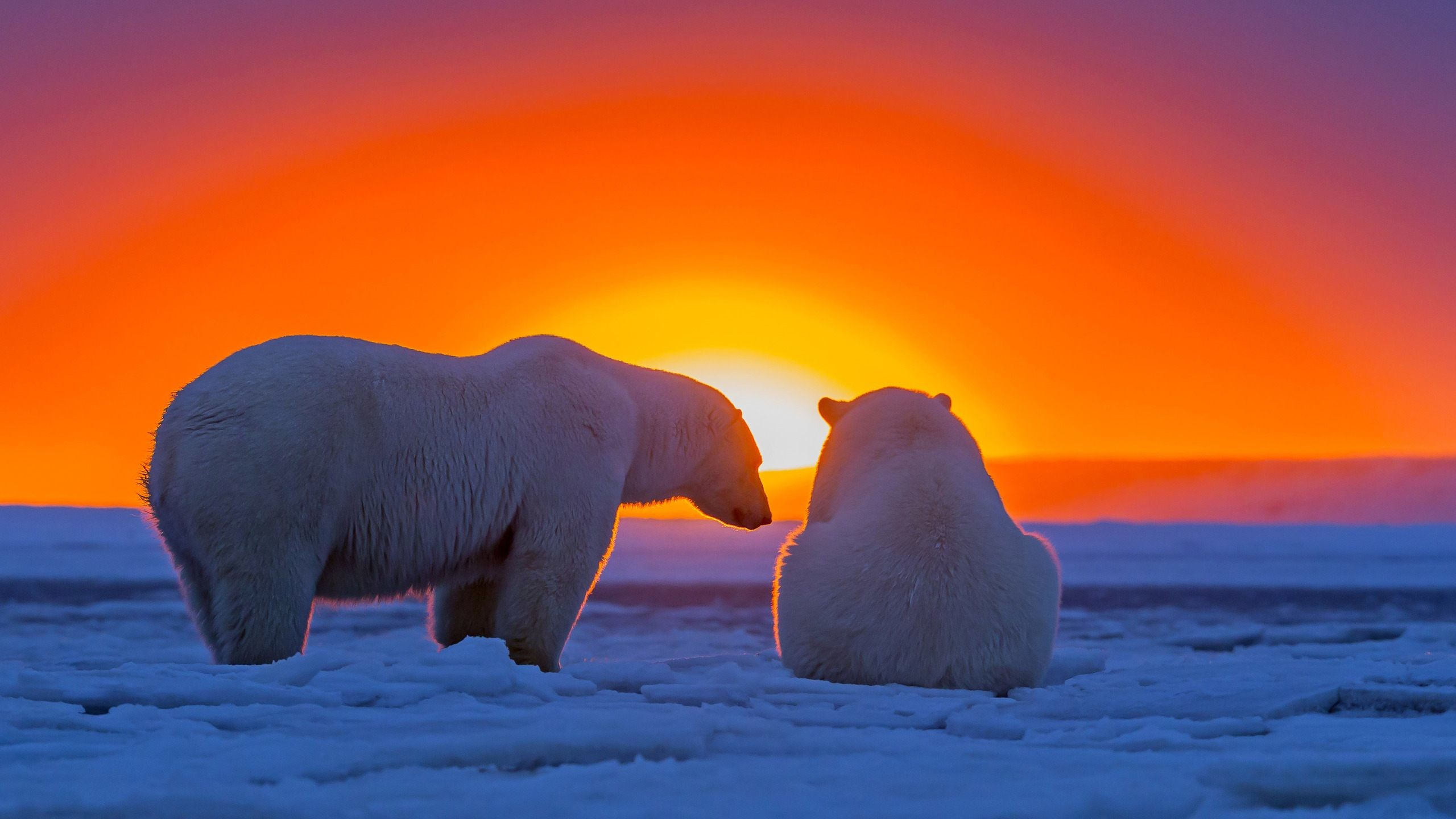 Polar Bears Wallpapers (61+ Images