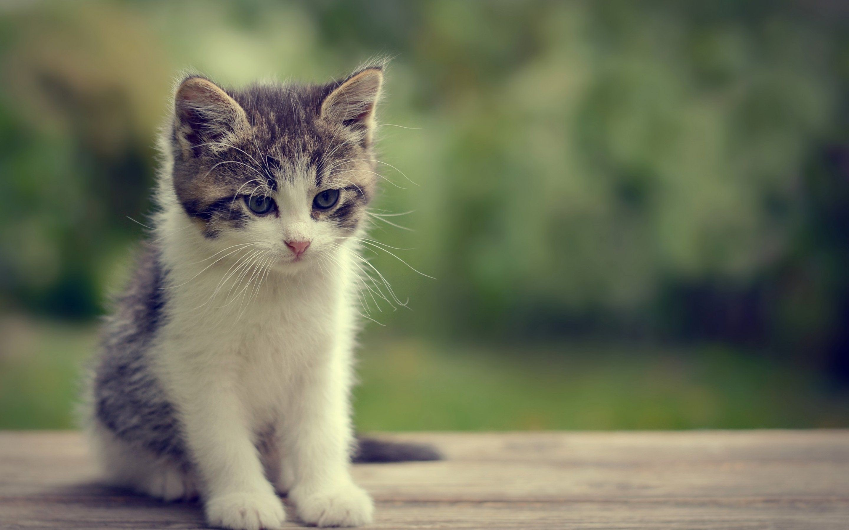 2880x1800 Kittens kitten cat cats baby cute s wallpaper
