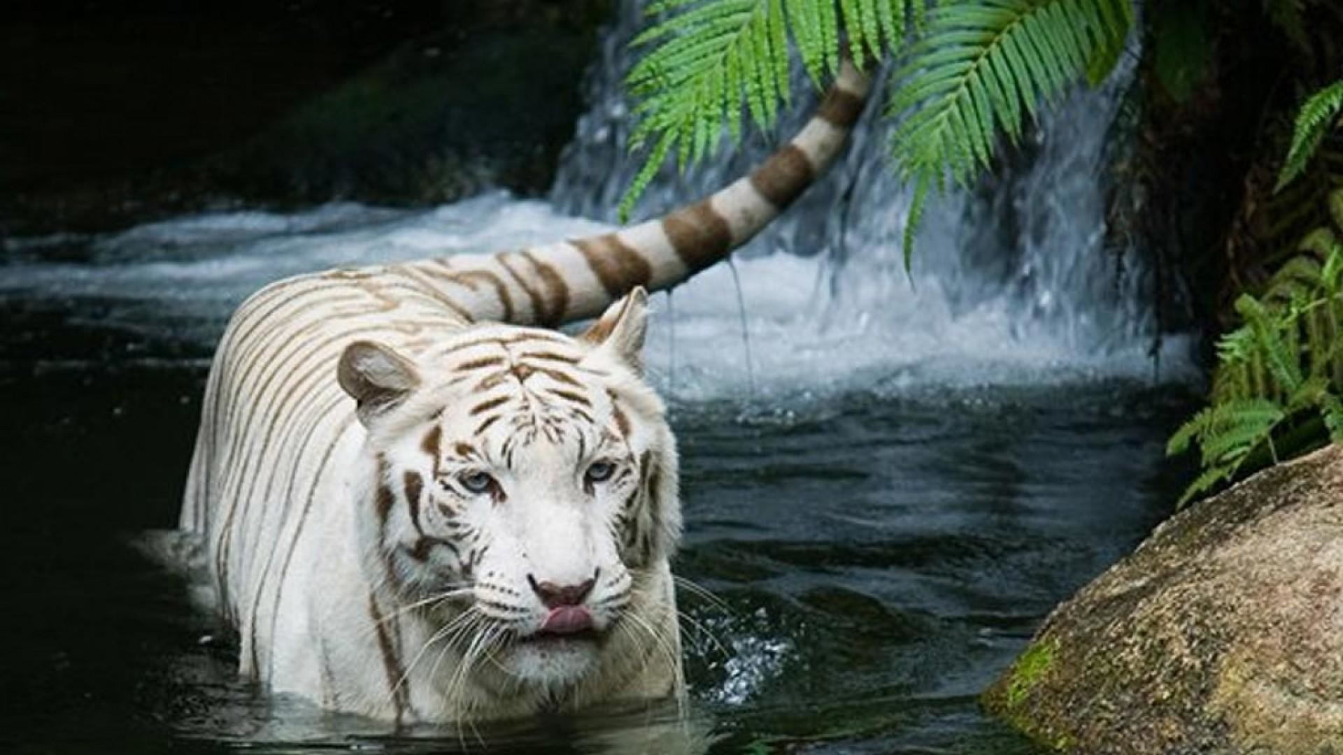 white tiger wallpaper (64+ images)