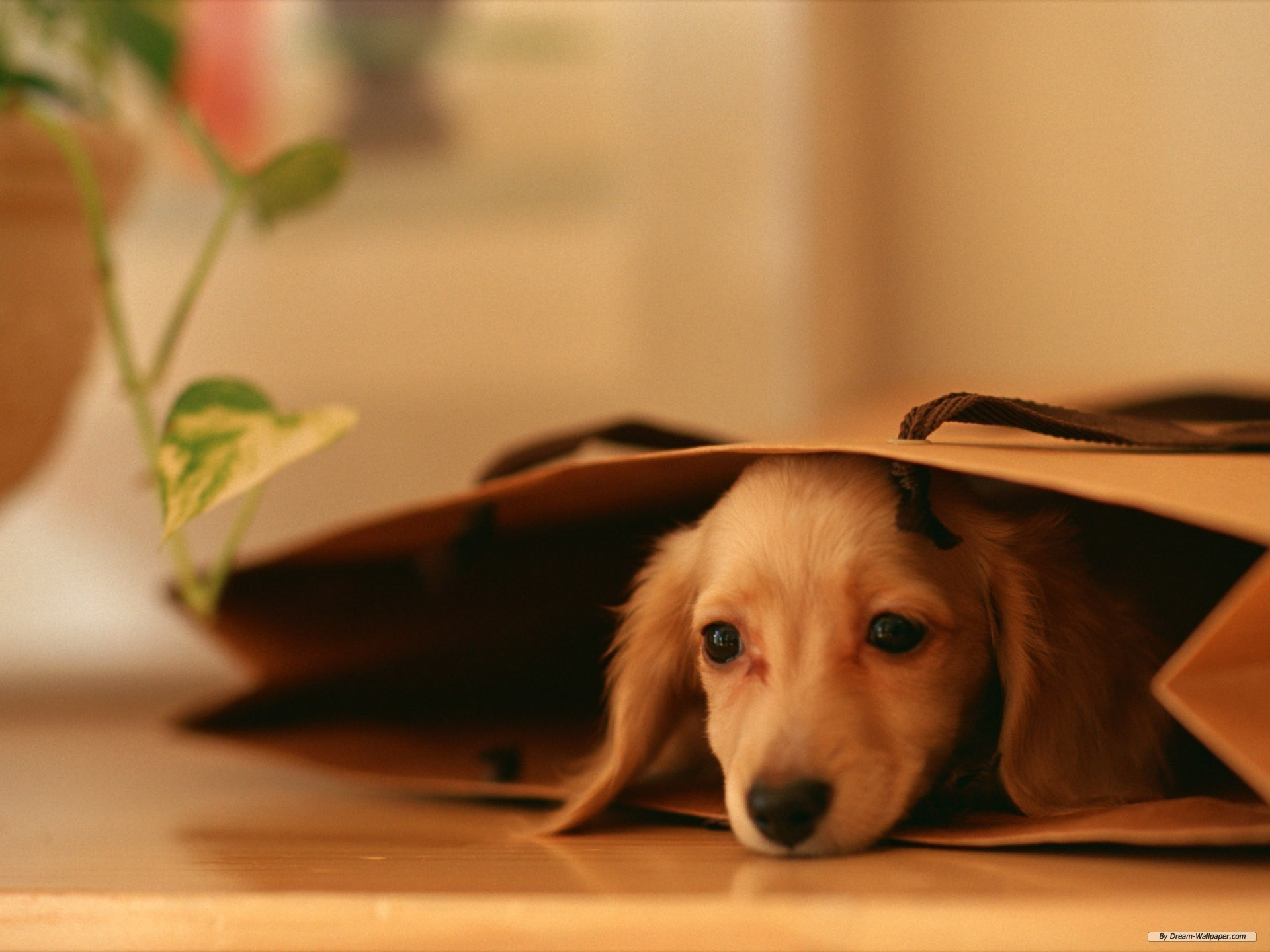 1920x1440 Free Animal wallpaper - Miniature Dachshund wallpaper -  wallpaper  - Index 9.