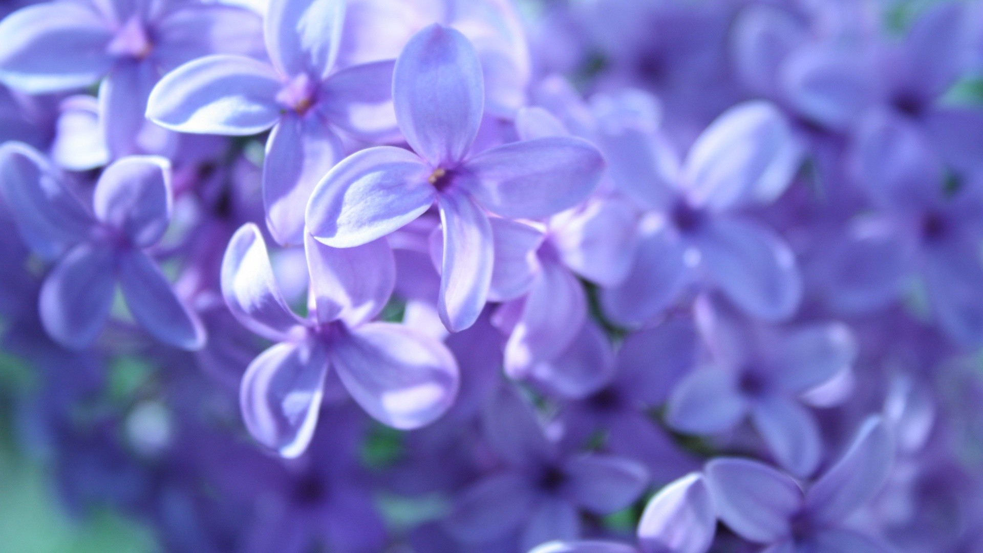 1920x1080 Wallpapers For Pretty Purple Flower Backgrounds