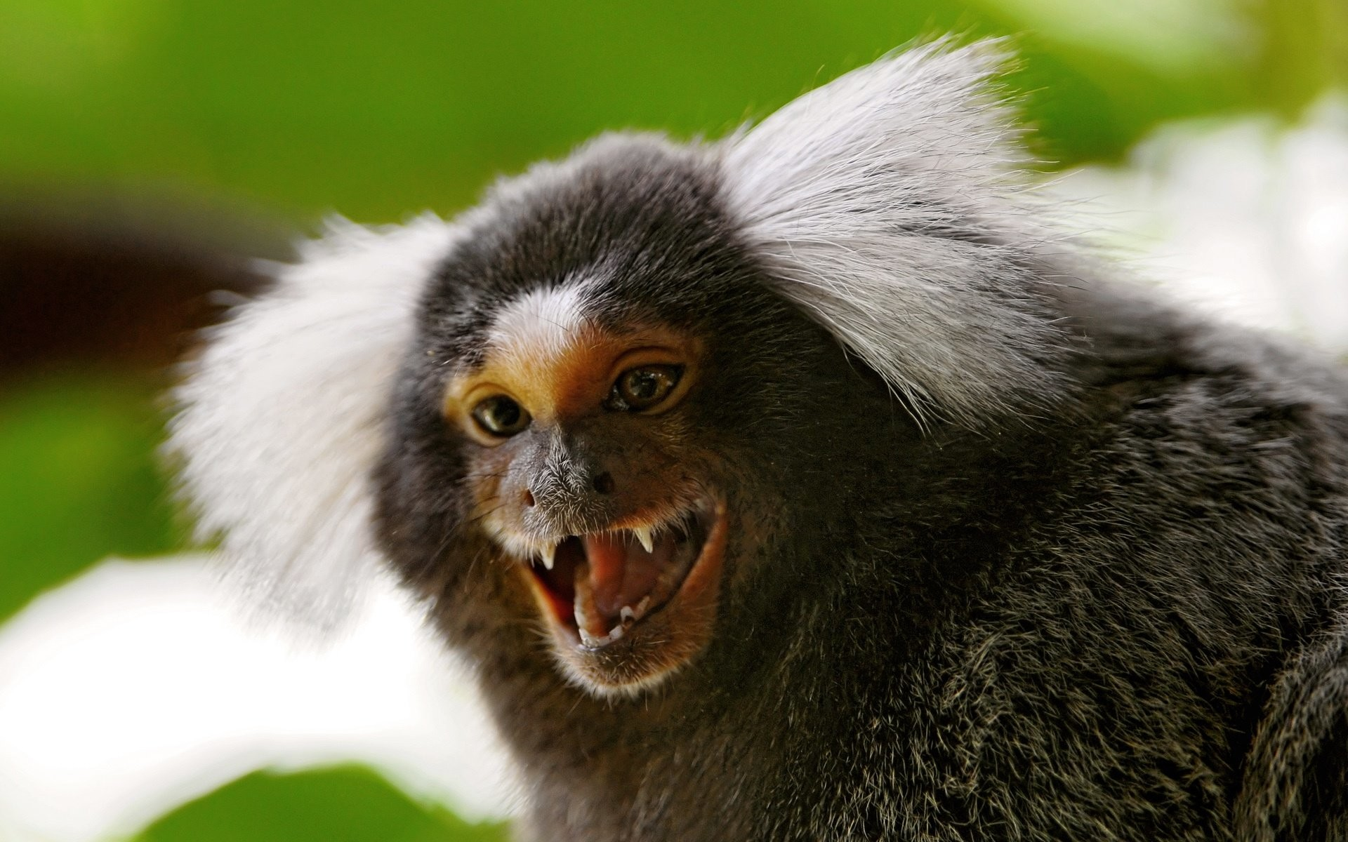1920x1200 awesome marmoset monkey wallpaper with monkey wallpaper.