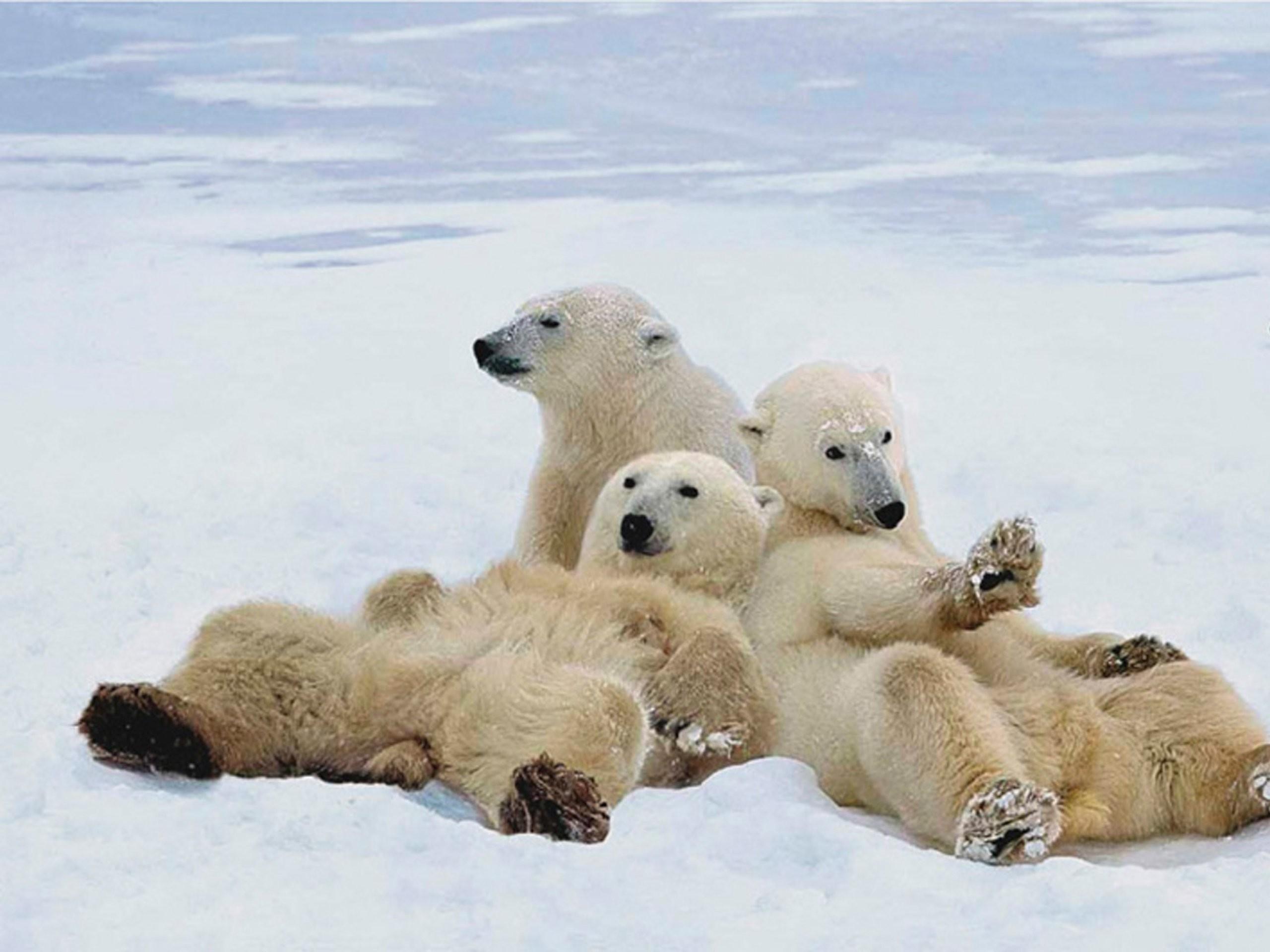 Baby Polar Bear Wallpaper 52 Images