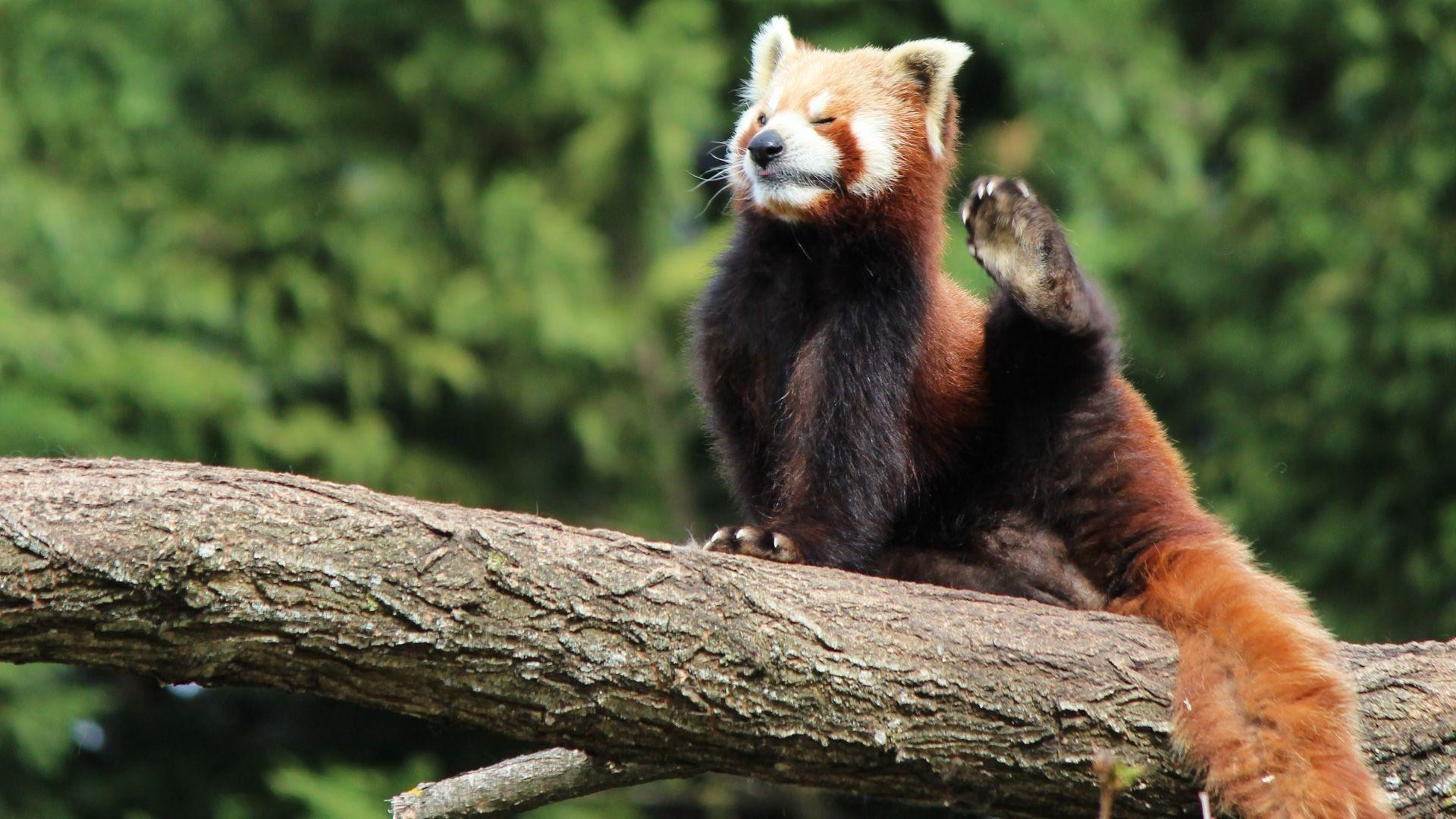 Red Panda Wallpaper Hd 65 Images