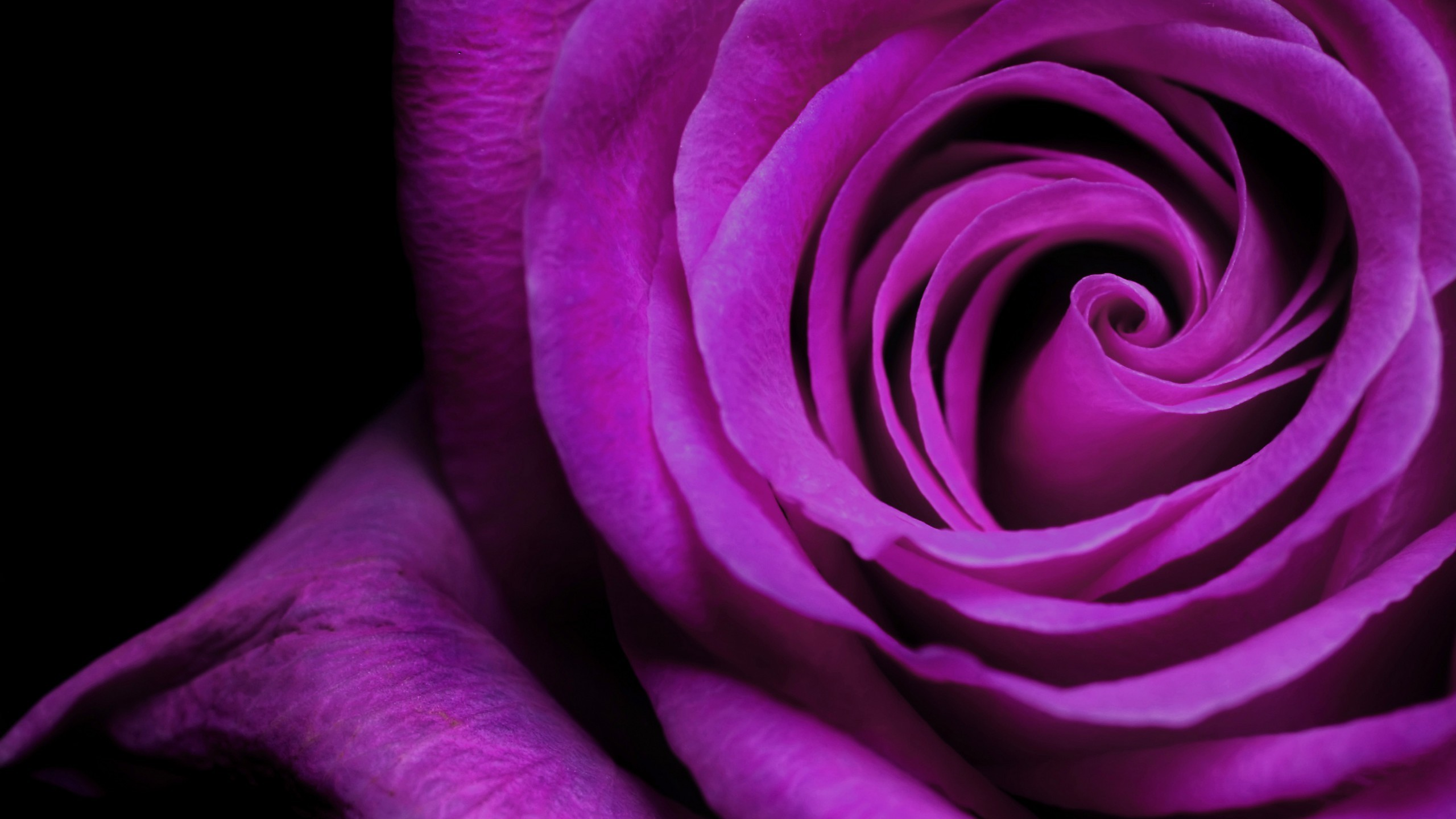 2560x1440 Flowers / Violet Rose Wallpaper
