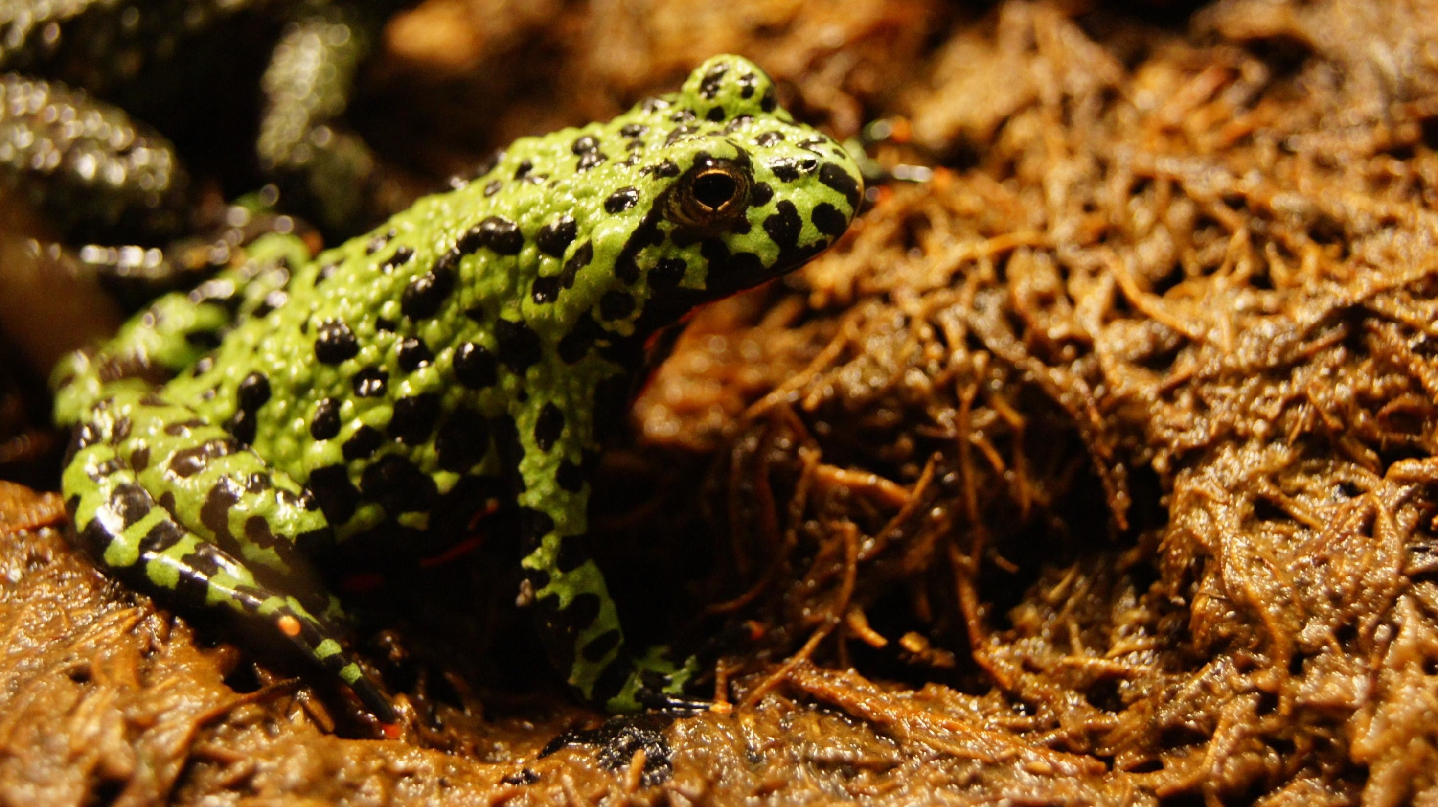 2939x1649 Fire Bellied Toad wallpapers HD