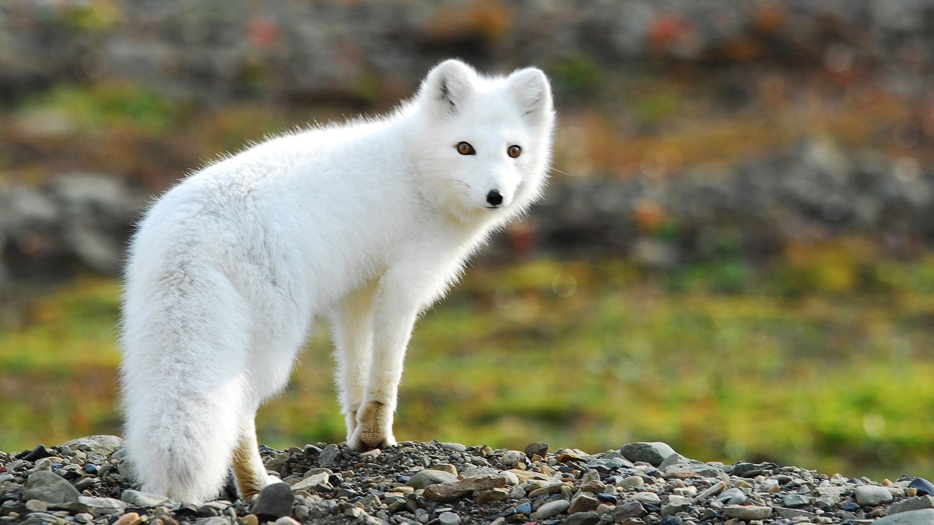 a free essay on the arctic fox Adopt an animal adopt an arctic fox kits make great gifts and can be sent directly to the recipient simply supply the recipient's name and mailing address as shipping information we'll even include a letter stating the adopt an arctic fox is from you.