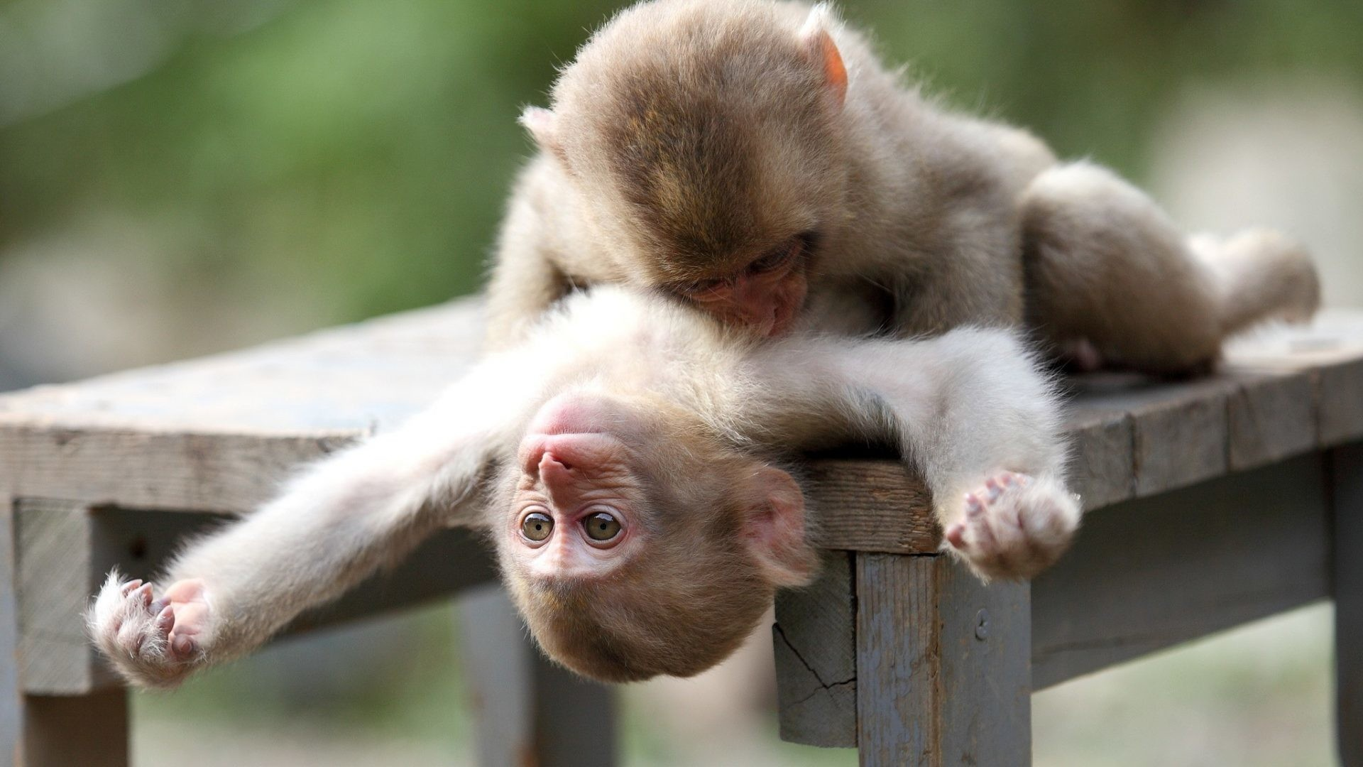 1920x1080 Apes Tag - Monkeys Apes Play Animal Mother And Baby Images for HD 16:9