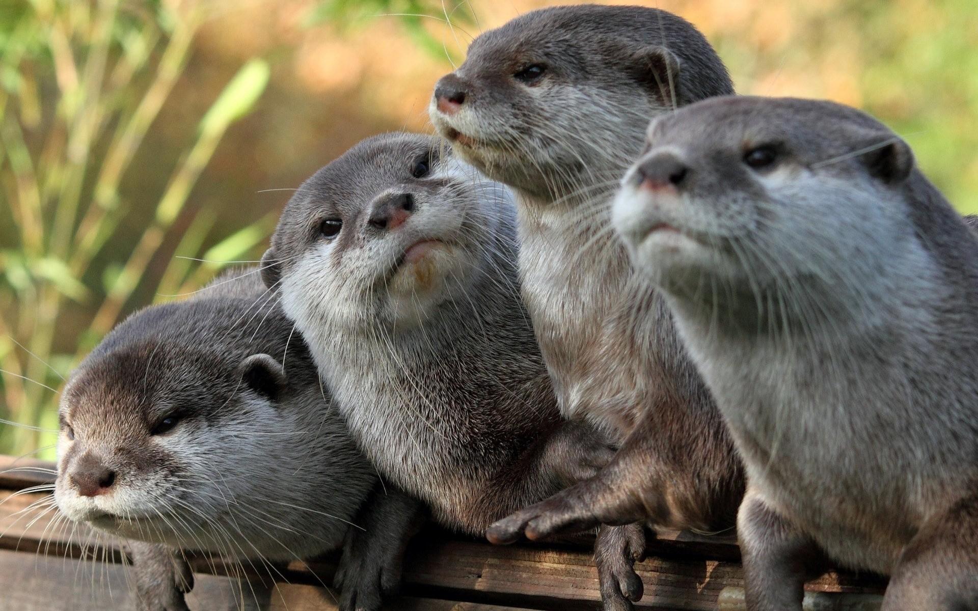 Otter Wallpaper 63 Images