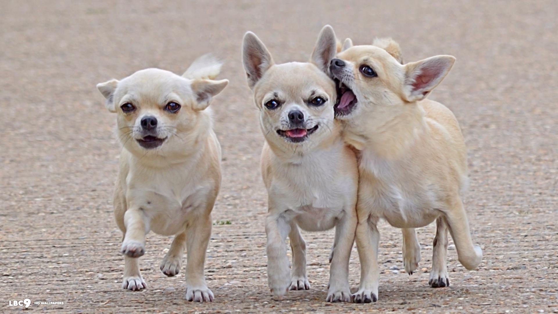 Teacup Chihuahua Wallpaper (52+ images)