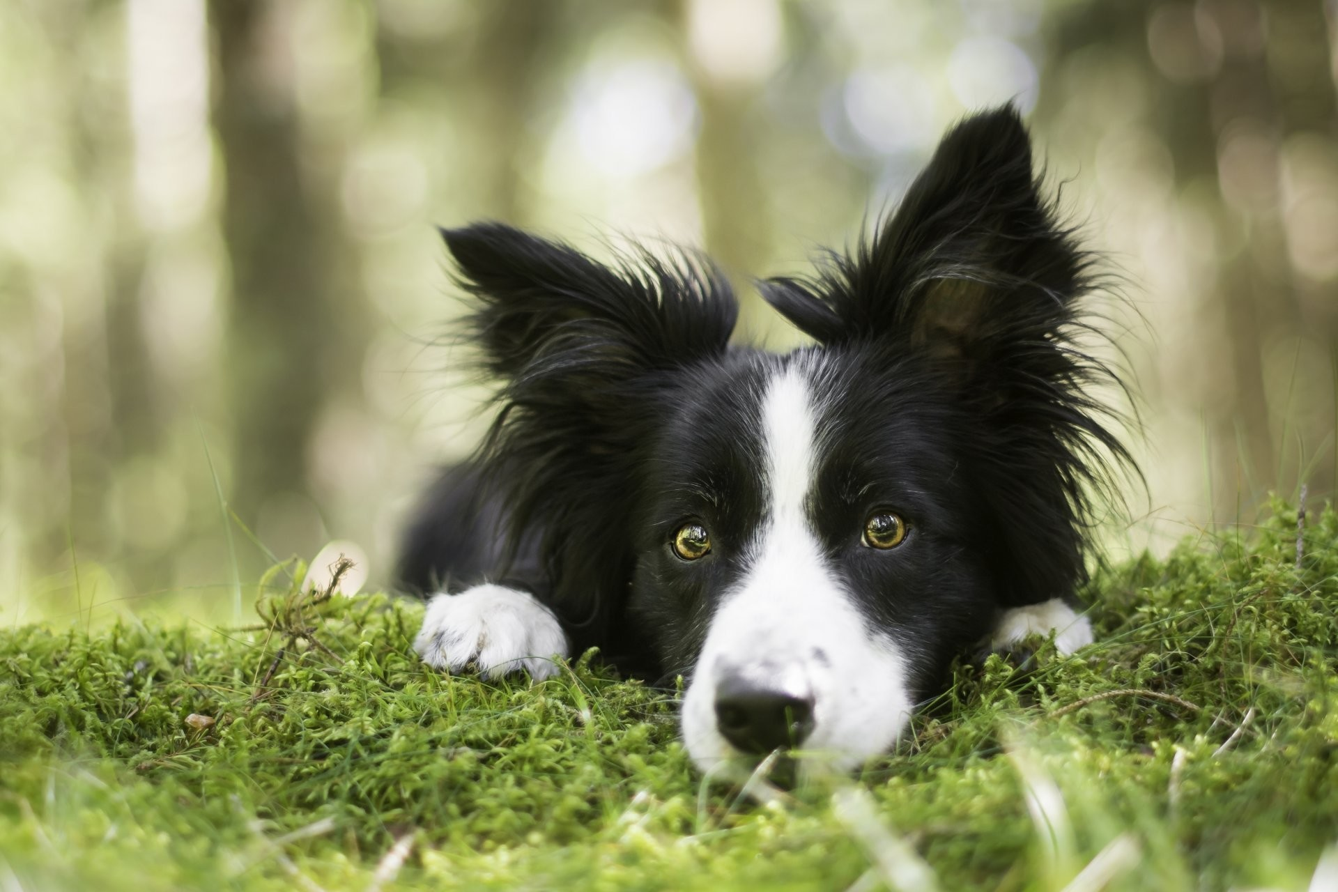Border Collie Wallpaper (72+ Images