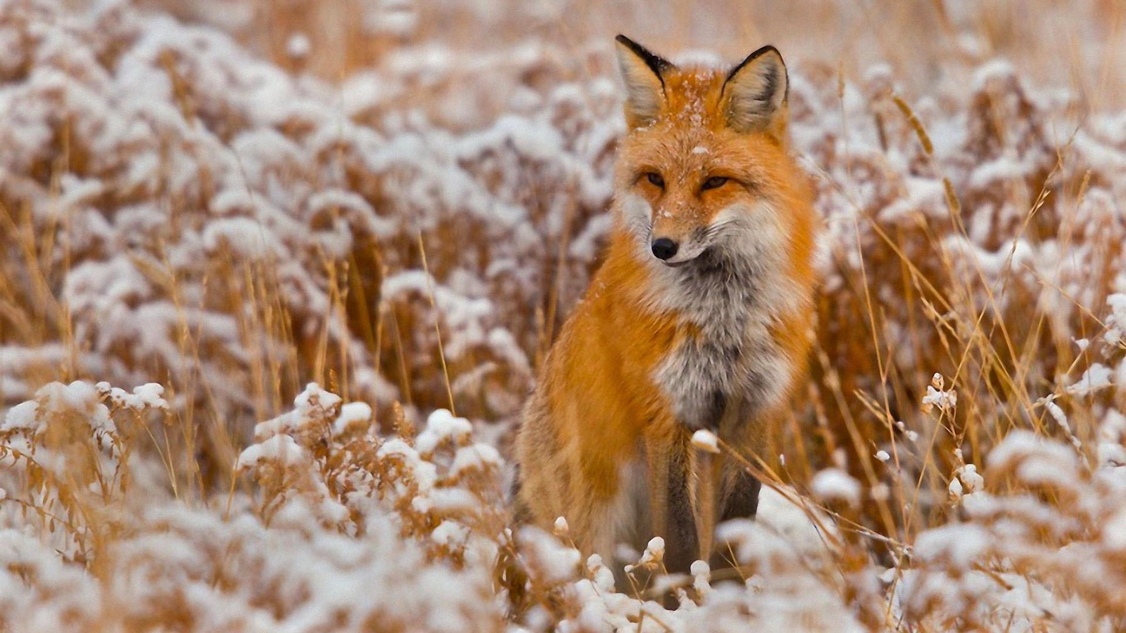 Fox Wallpaper 77 Images