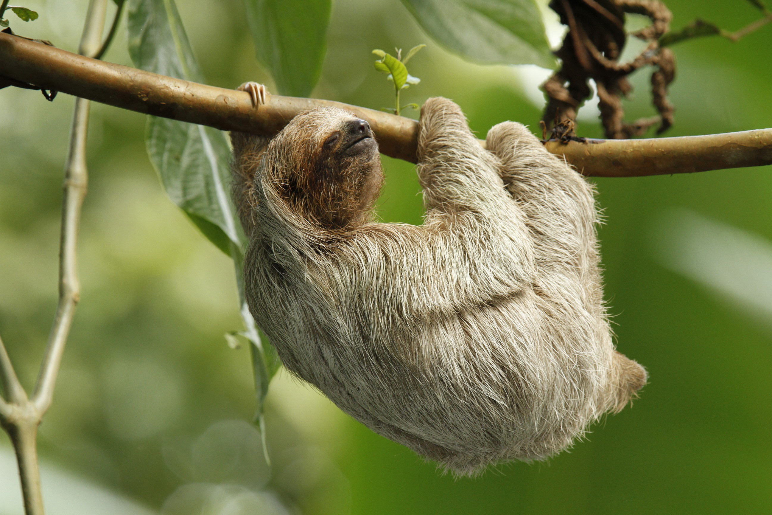 2592x1728 funny sloth animals hd wallpaper Car Pictures