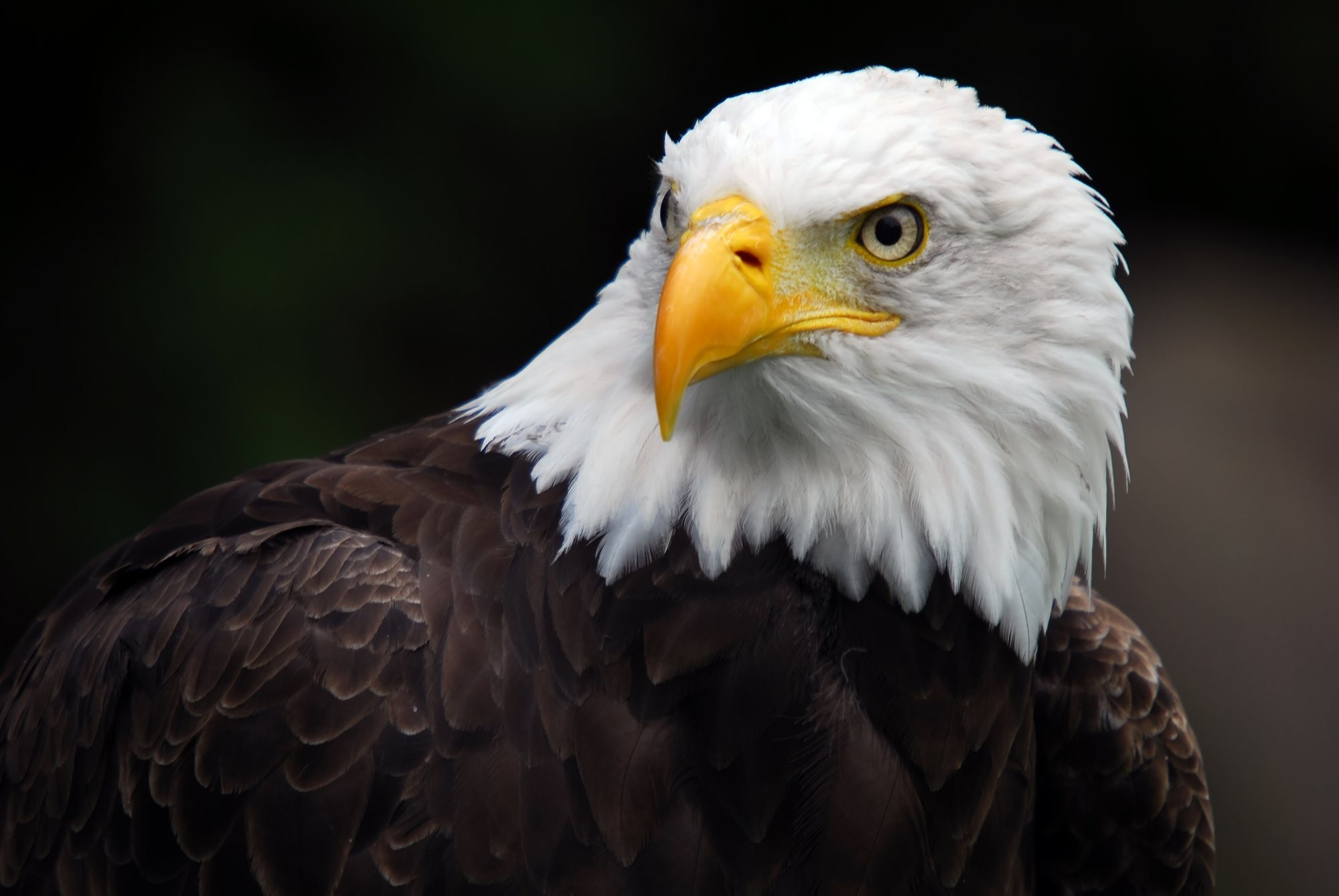 2000x1339 bald eagle and flag pics wallpaper
