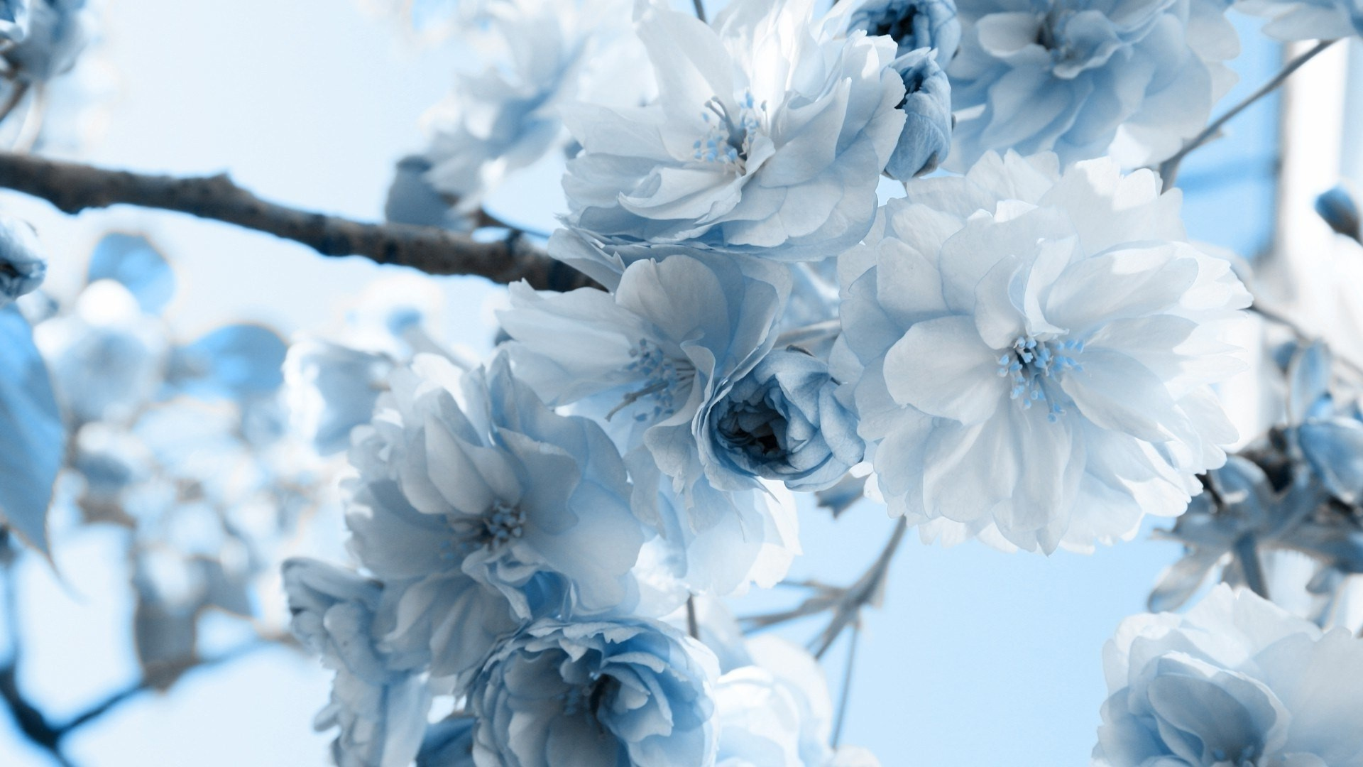 1920x1080 Pretty light blue and white flowers.