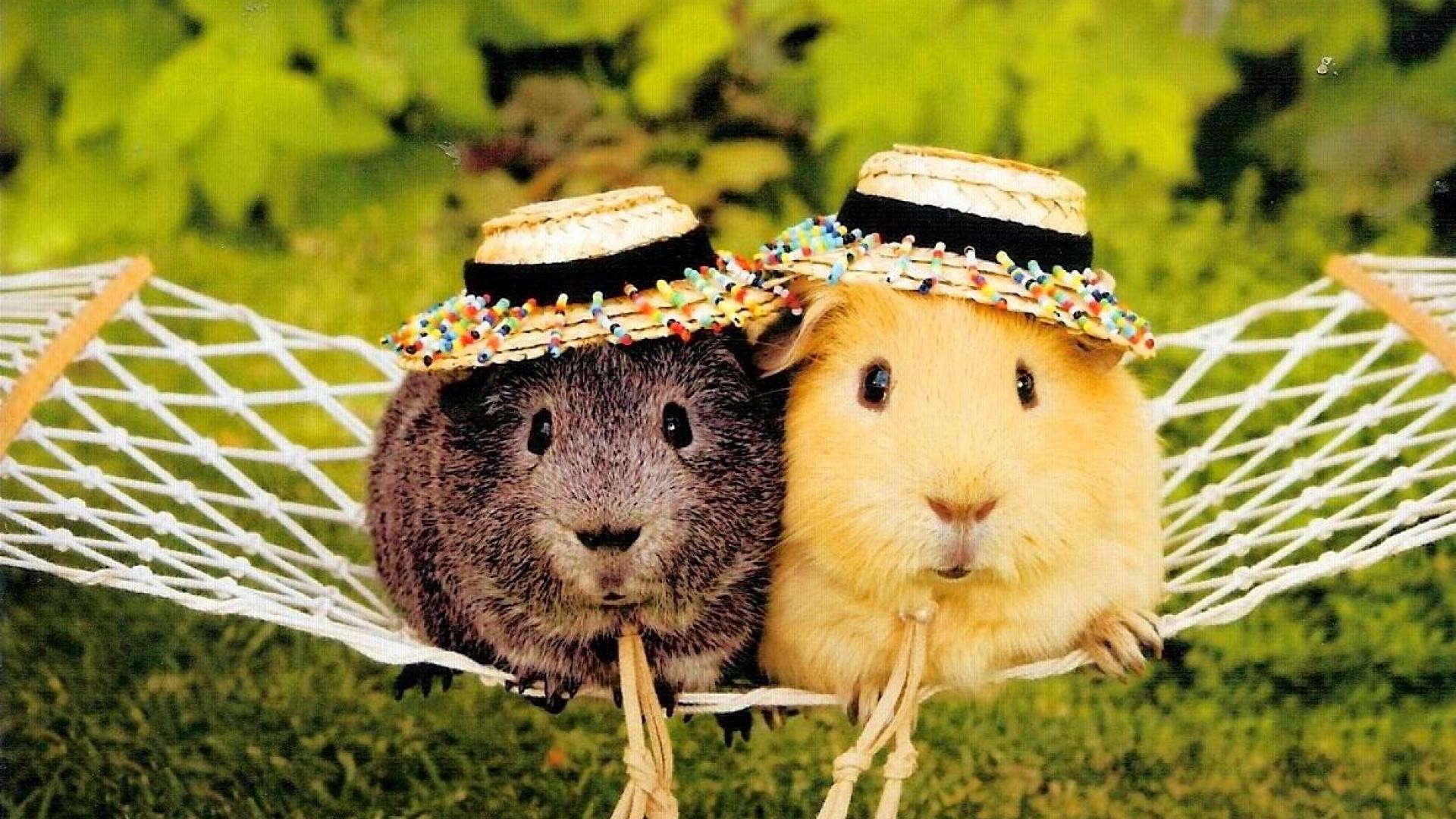 Cute funny guinea pig pictures