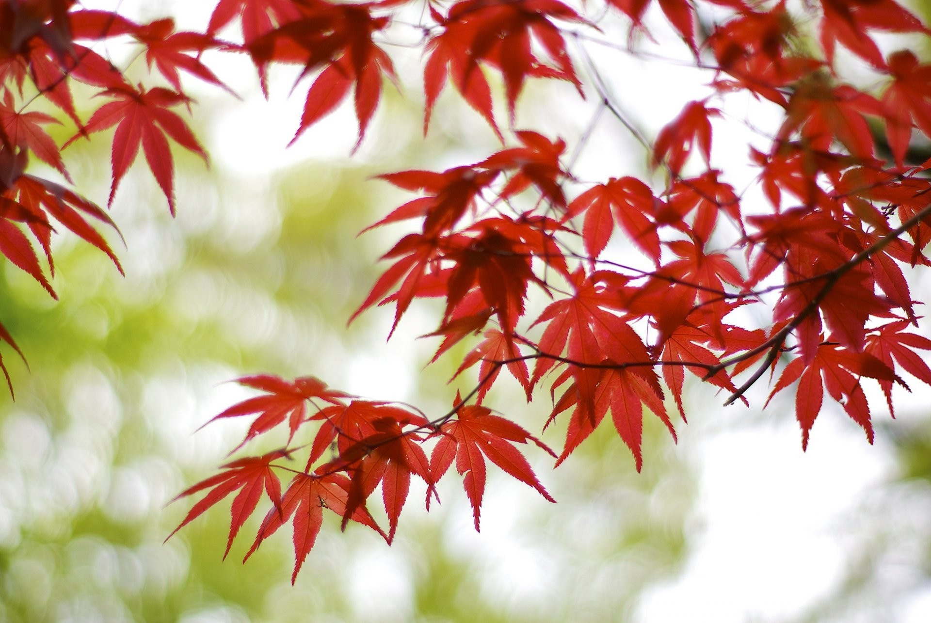 1920x1285 japan osaka tree branches maple red leaves blur bokeh reflections