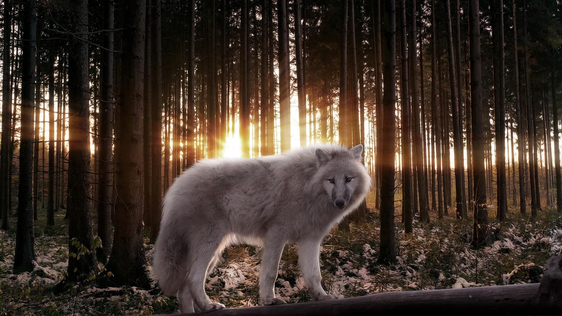 1920x1080 white wolf hd wallpaper