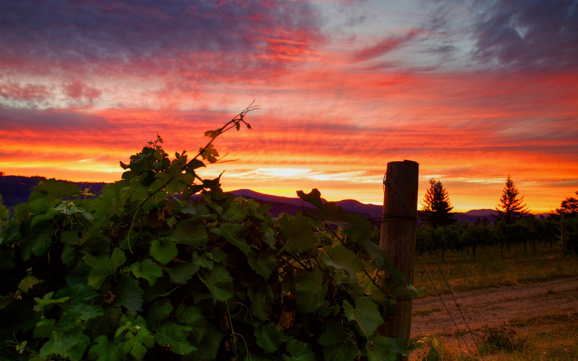 1920x1200  Wallpaper vineyard, sunset, grass