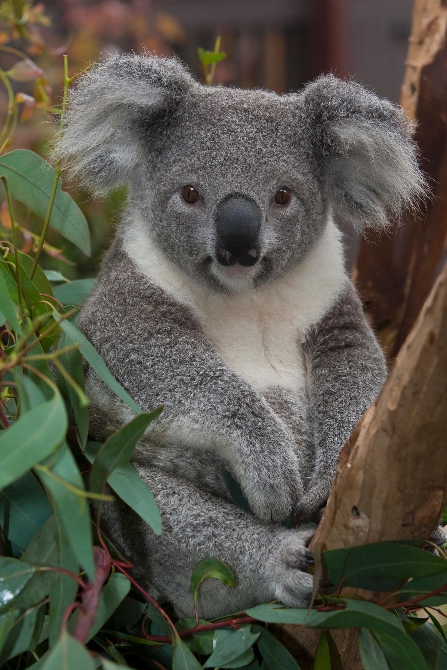 Baby Koala Wallpaper (57+ images)