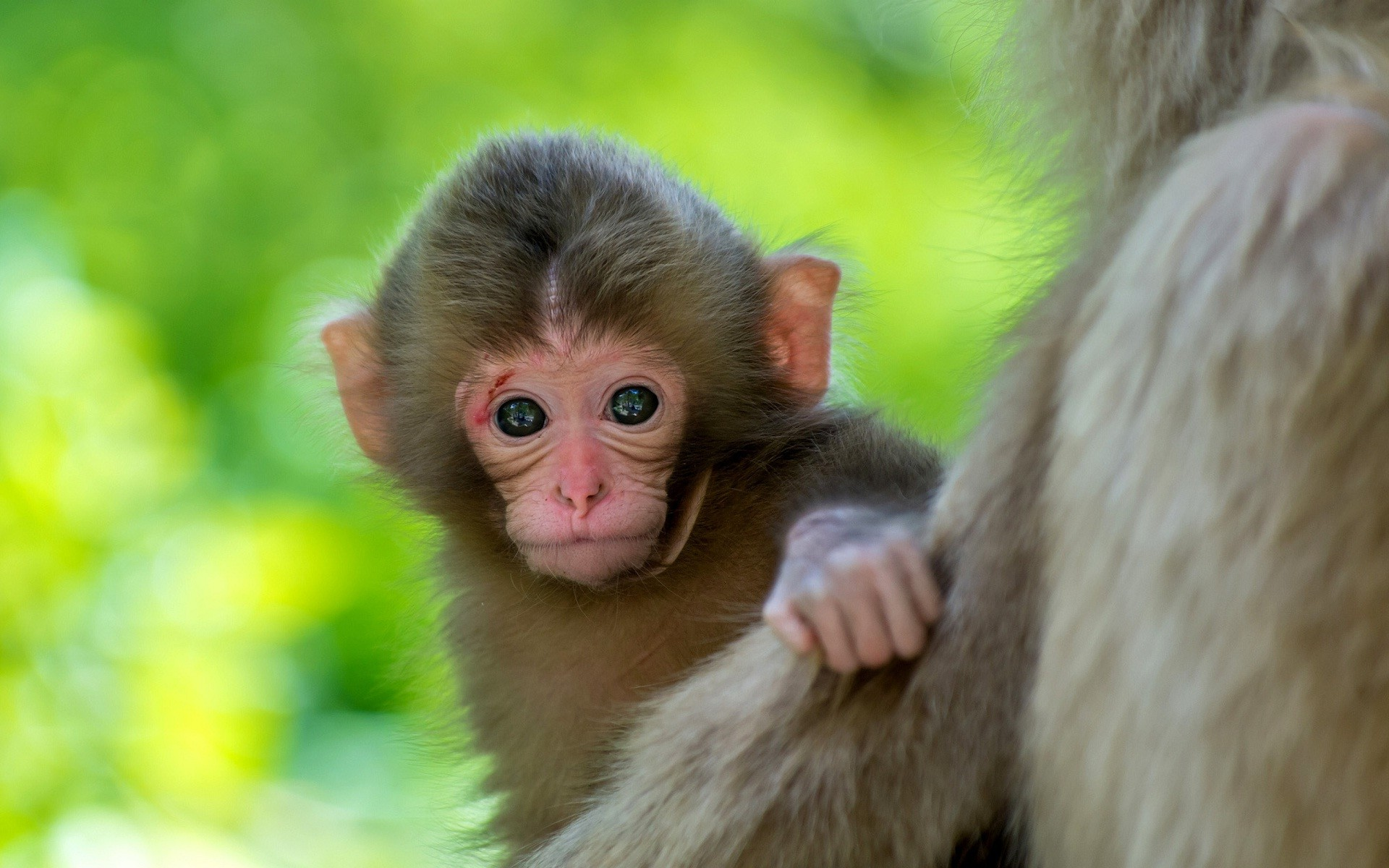 1920x1200 Cute monkey baby animal wallpaper