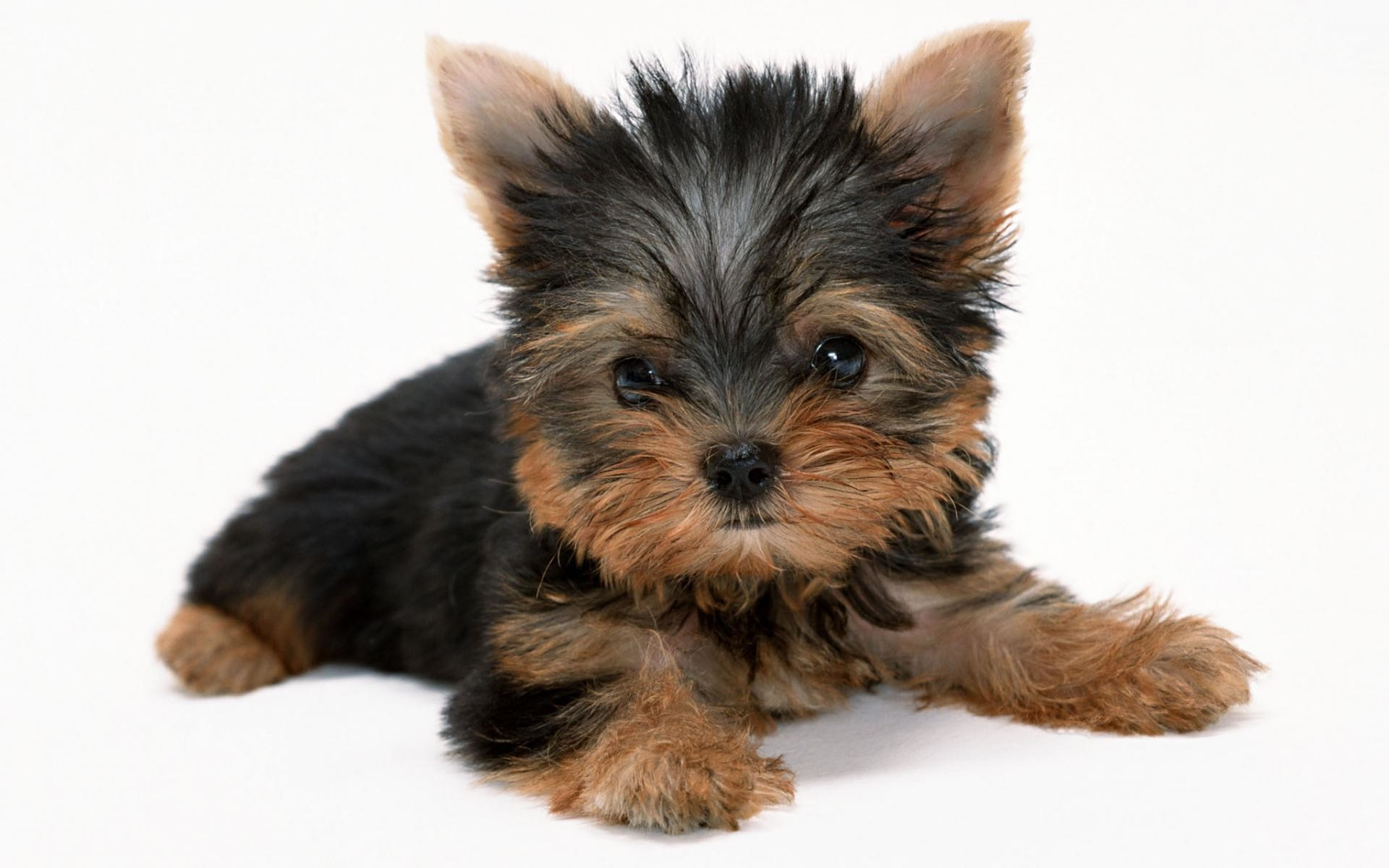 Yorkie Puppies Wallpaper (51+ images)