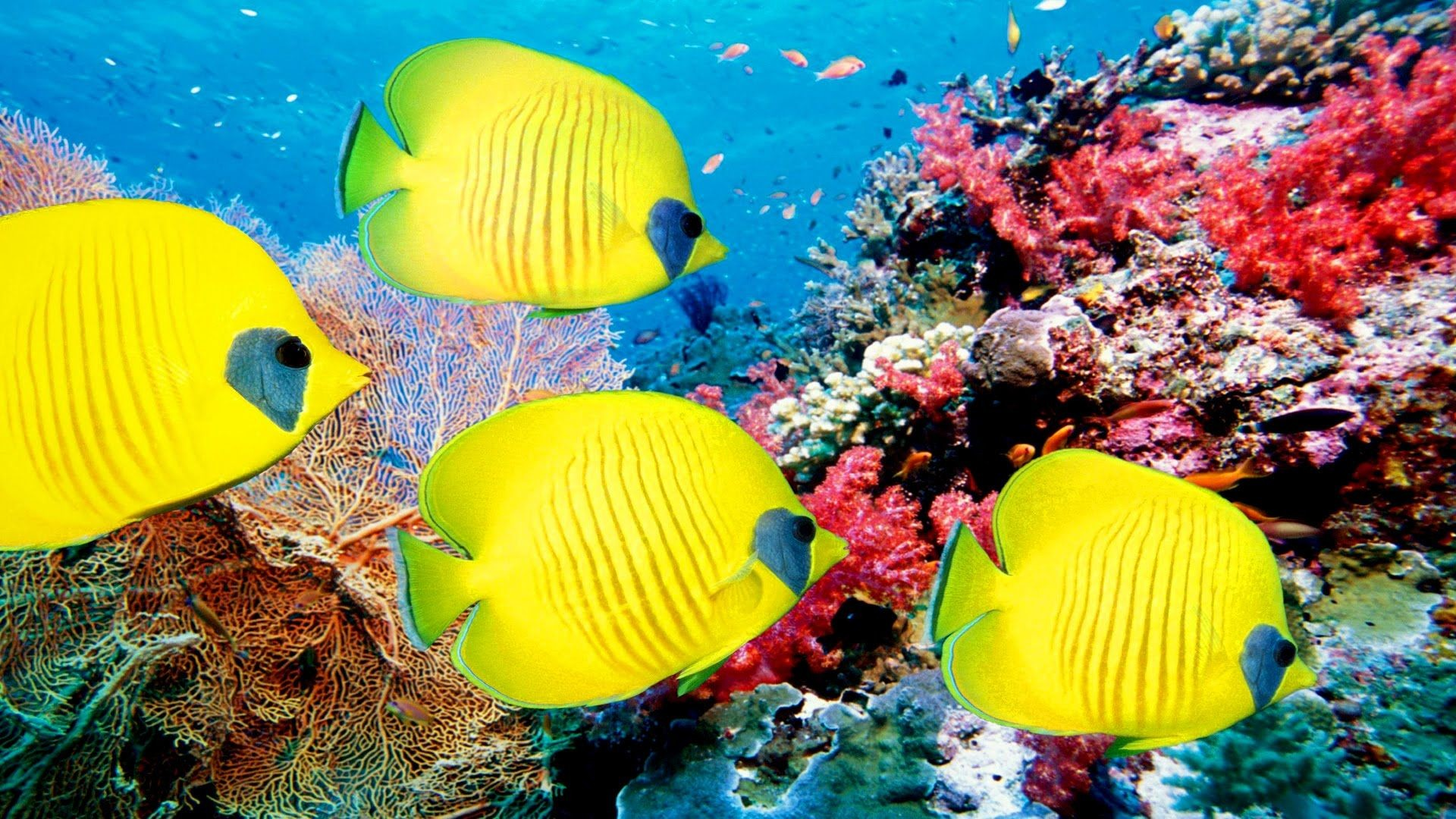 1920x1080 Coral Reef Photos – Wallpapers and Pictures BG Collection Coral Reef –  download free