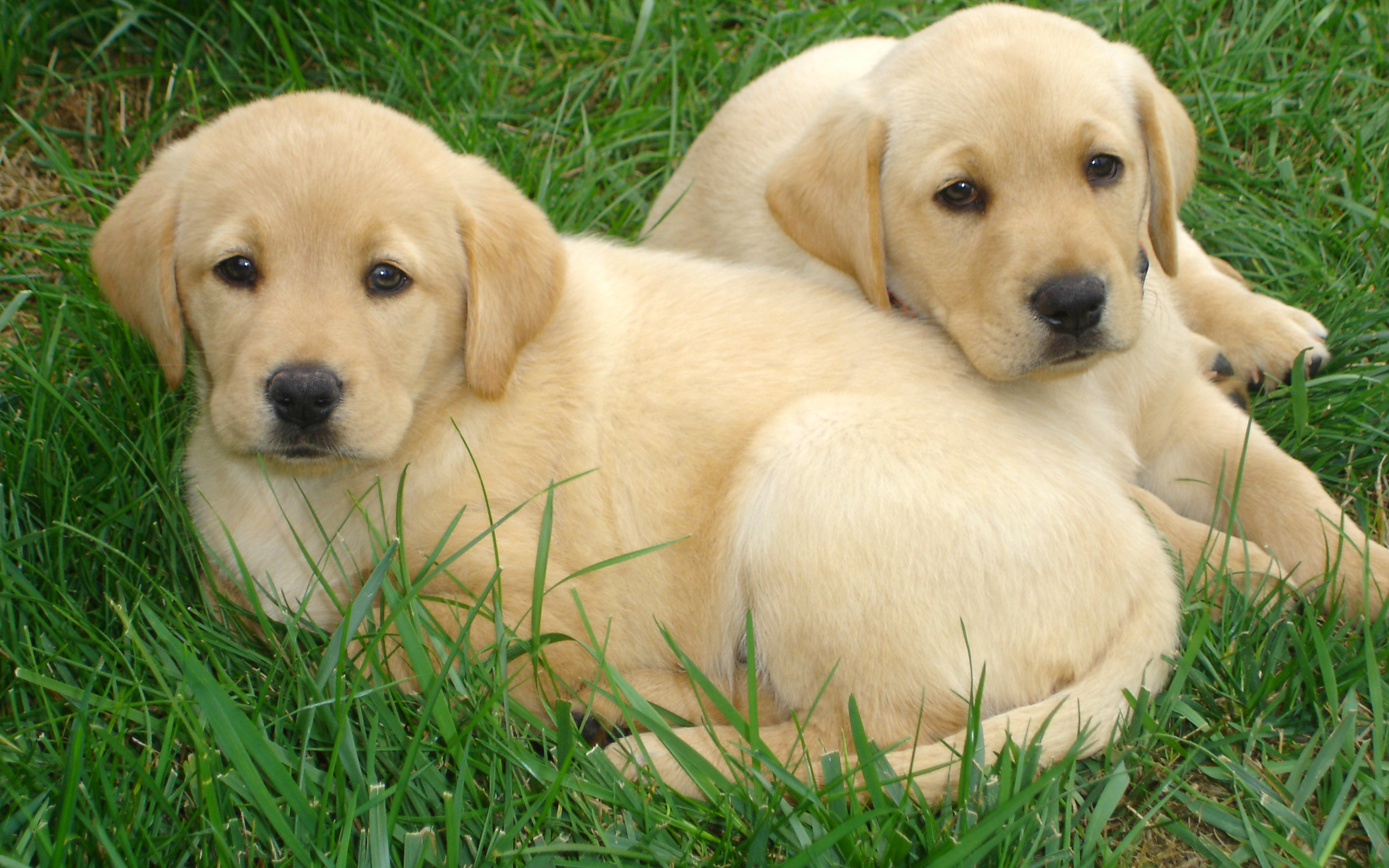 2560x1600 Yellow Lab Wallpaper For Computer 1,1 Mbyte High Resolution