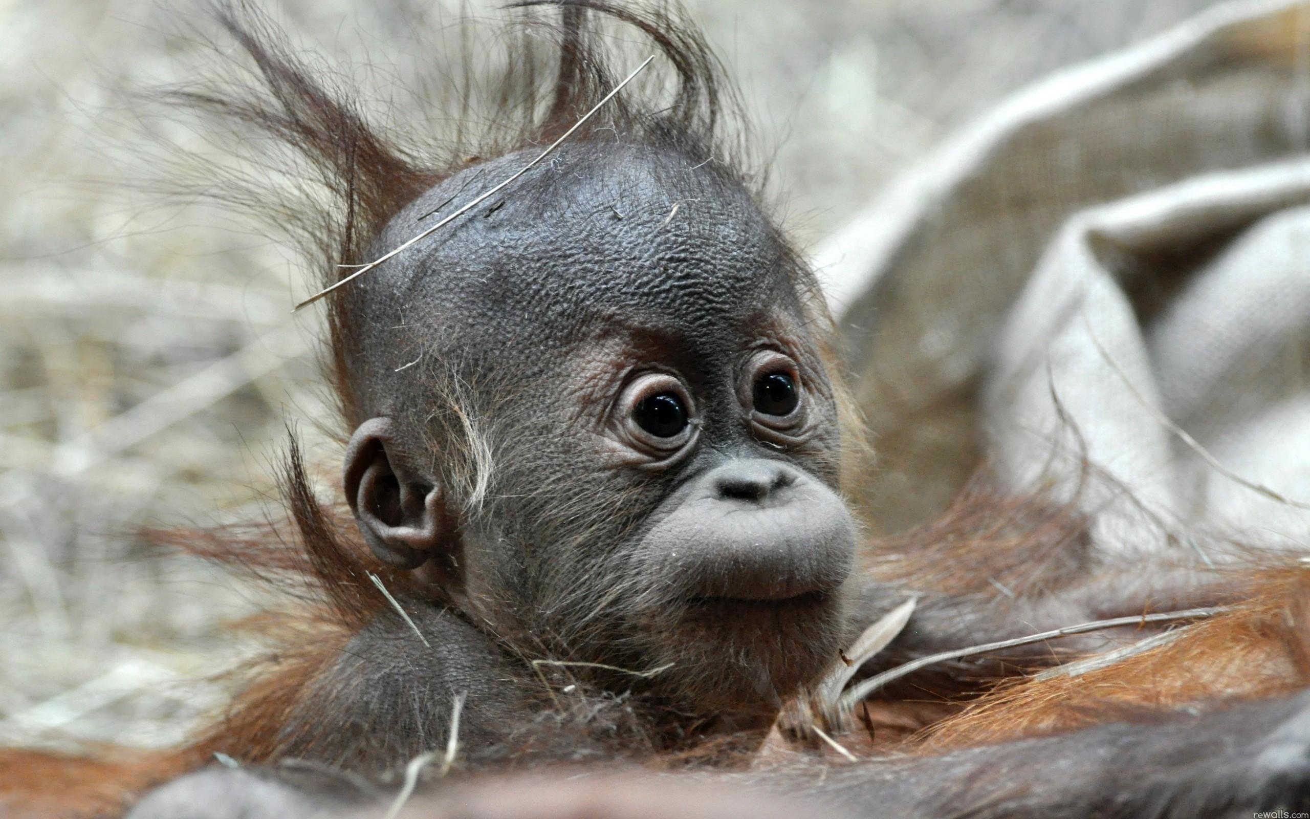 1920x1200 Baby Monkey So Cute HD Wallpaper 04899