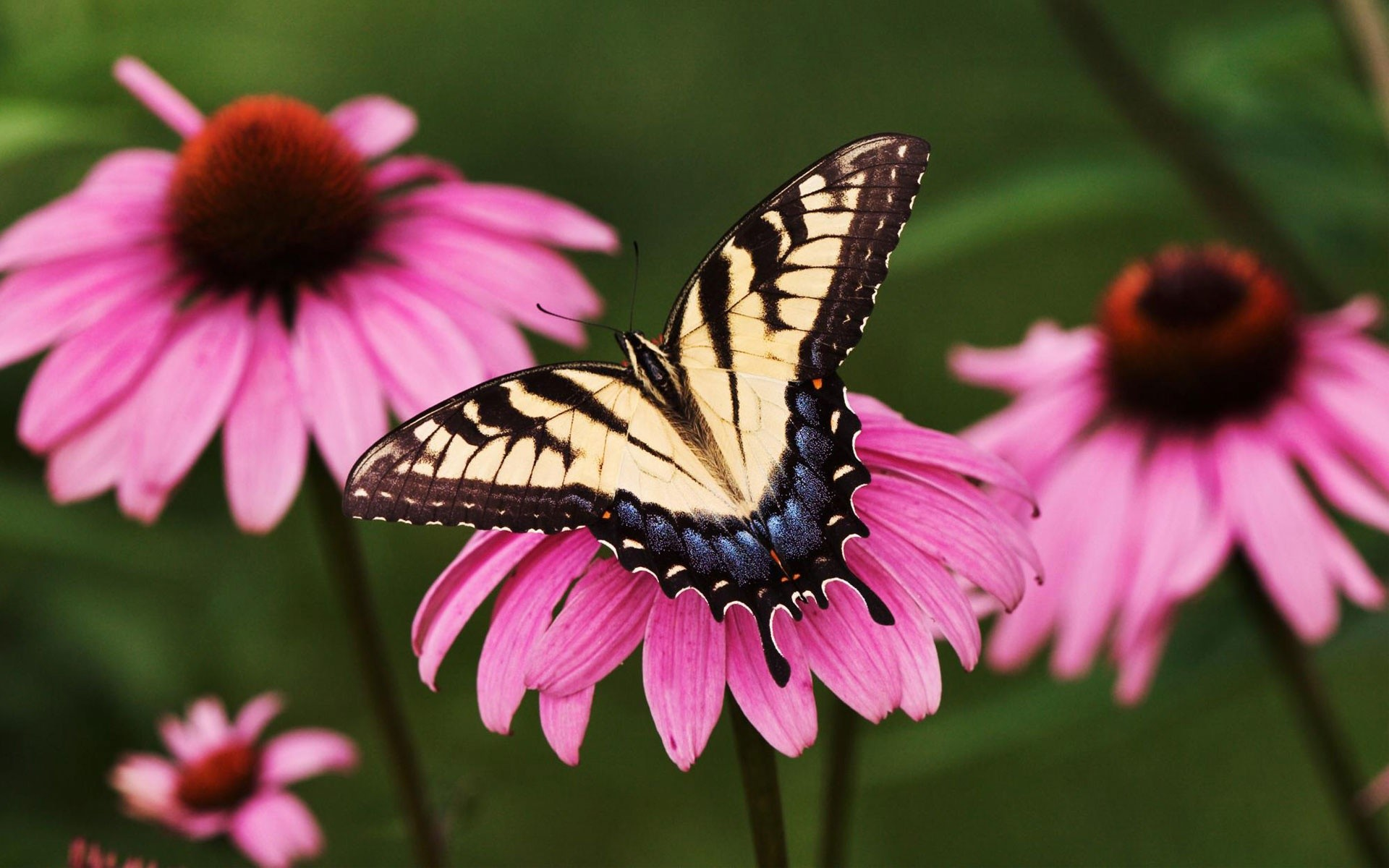 1920x1200 Tiger Swallowtail Butterfly Purple Coneflower